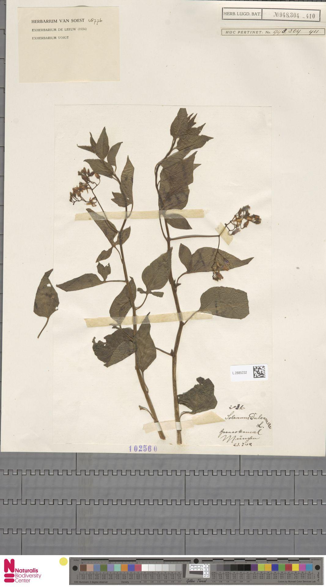 L.2885232 | Solanum dulcamara L.