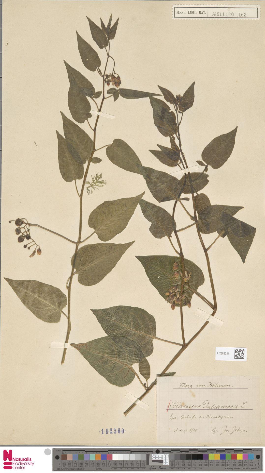 L.2885237 | Solanum dulcamara L.
