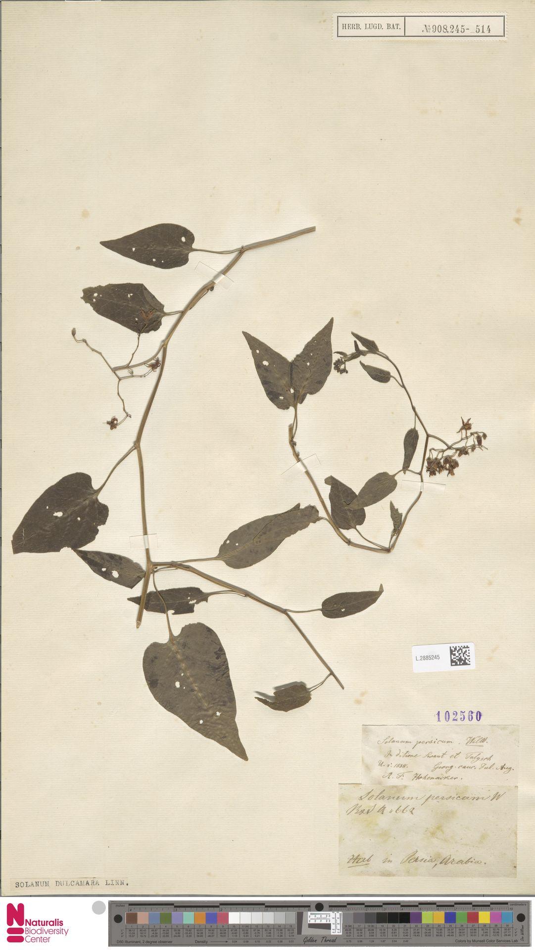 L.2885245 | Solanum dulcamara L.