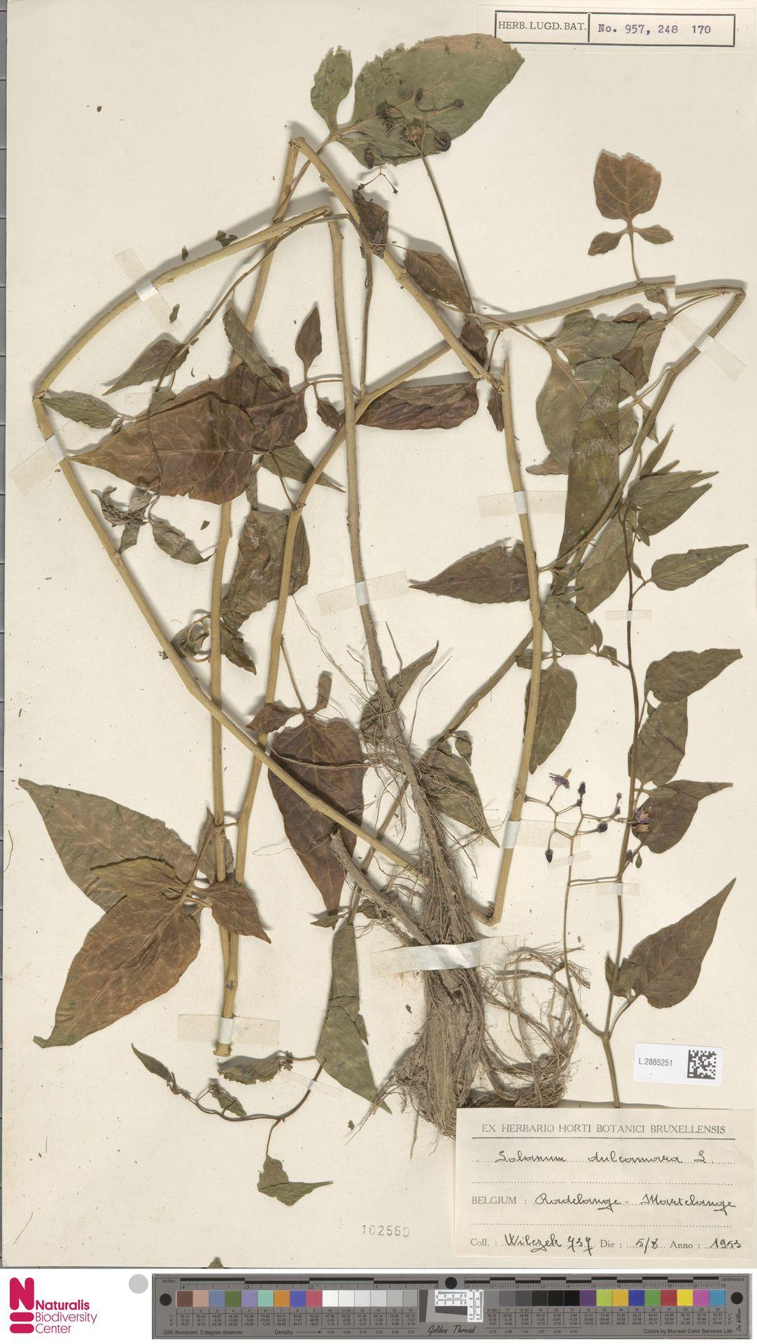 L.2885251 | Solanum dulcamara L.