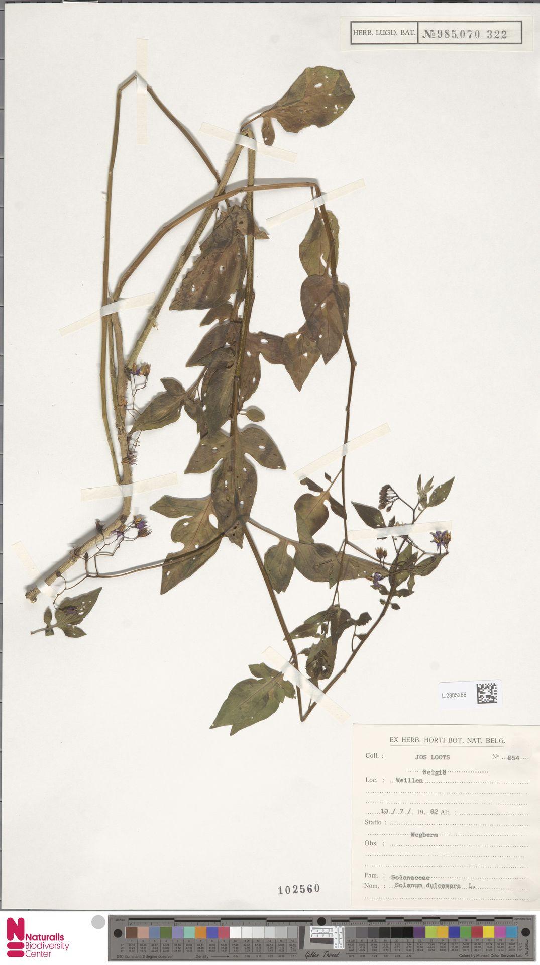 L.2885266 | Solanum dulcamara L.