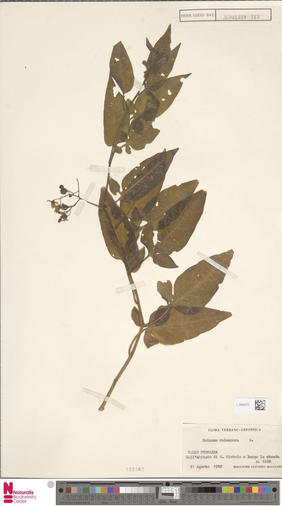 L.2885272   Solanum dulcamara L.