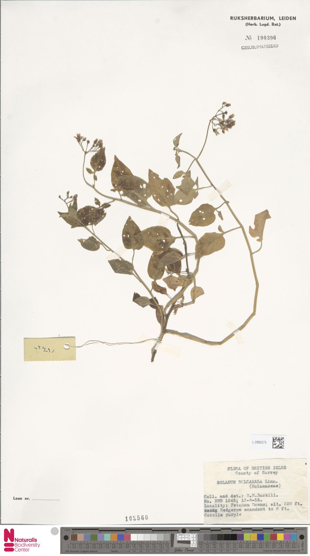 L.2885273   Solanum dulcamara L.