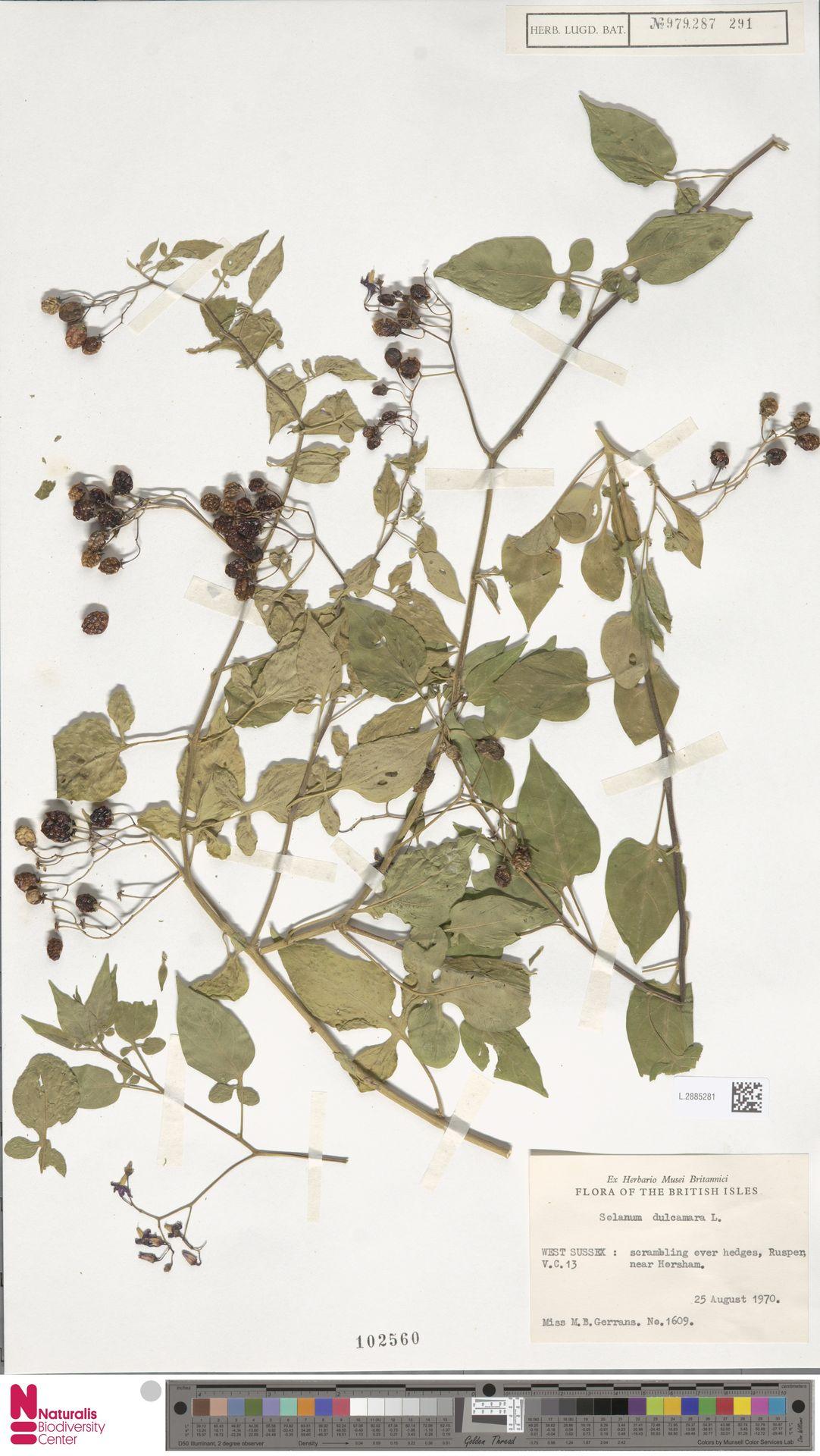 L.2885281   Solanum dulcamara L.