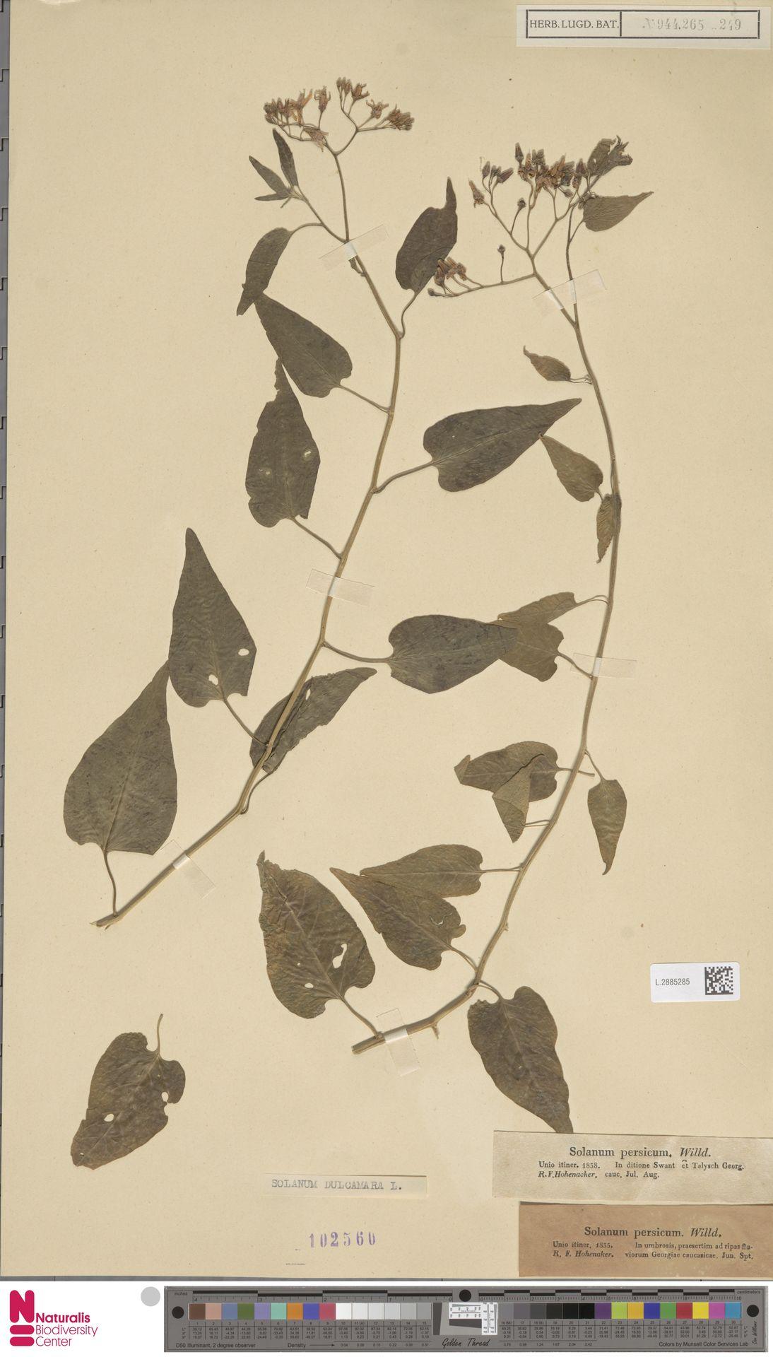 L.2885285 | Solanum dulcamara L.
