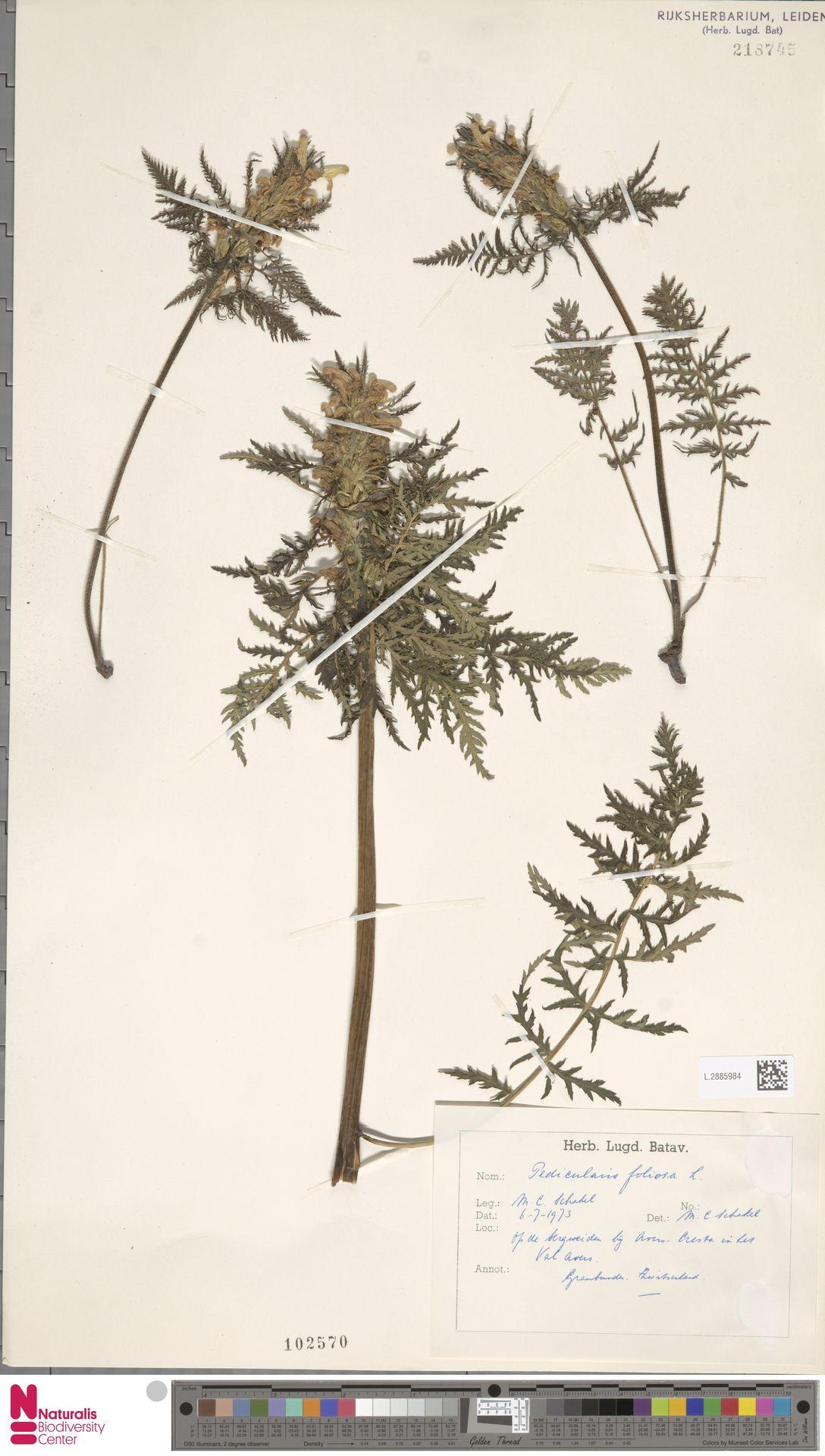 L.2885984 | Pedicularis foliosa L.