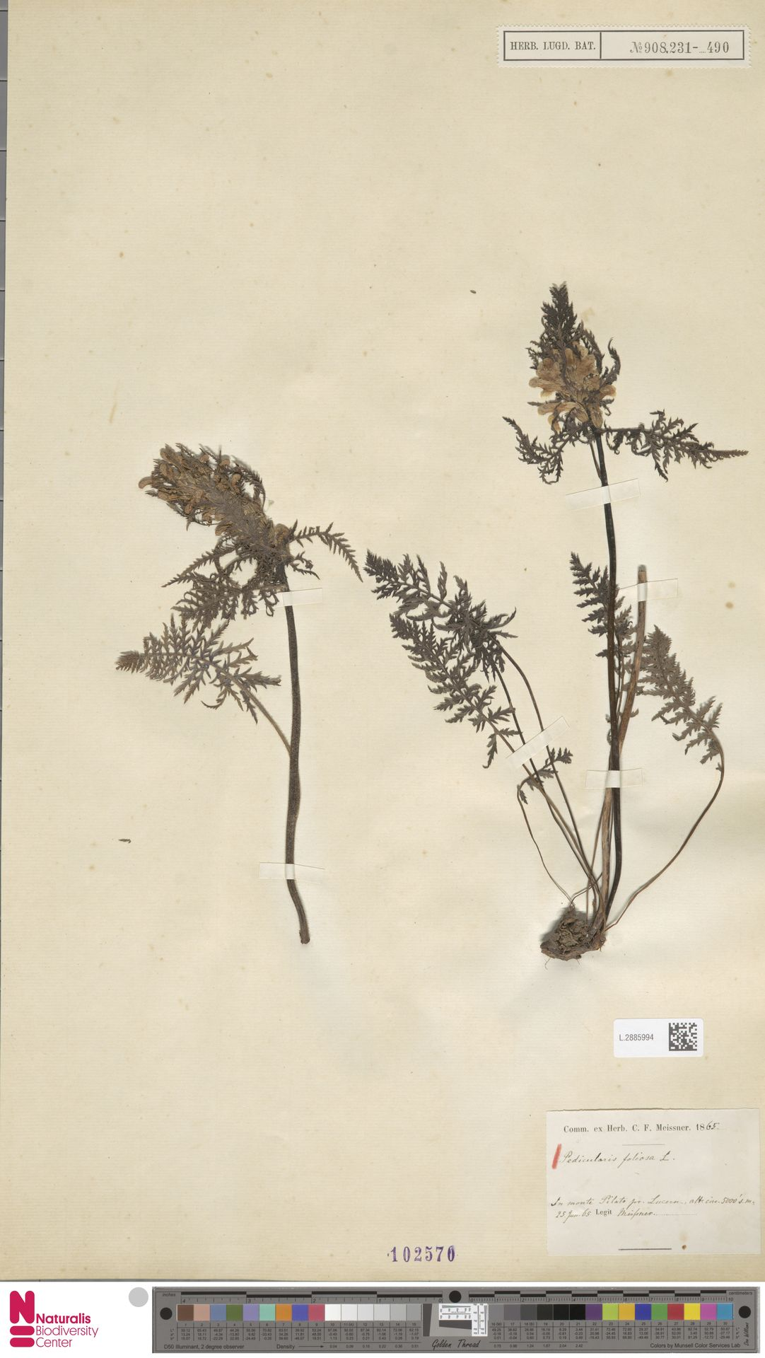 L.2885994 | Pedicularis foliosa L.