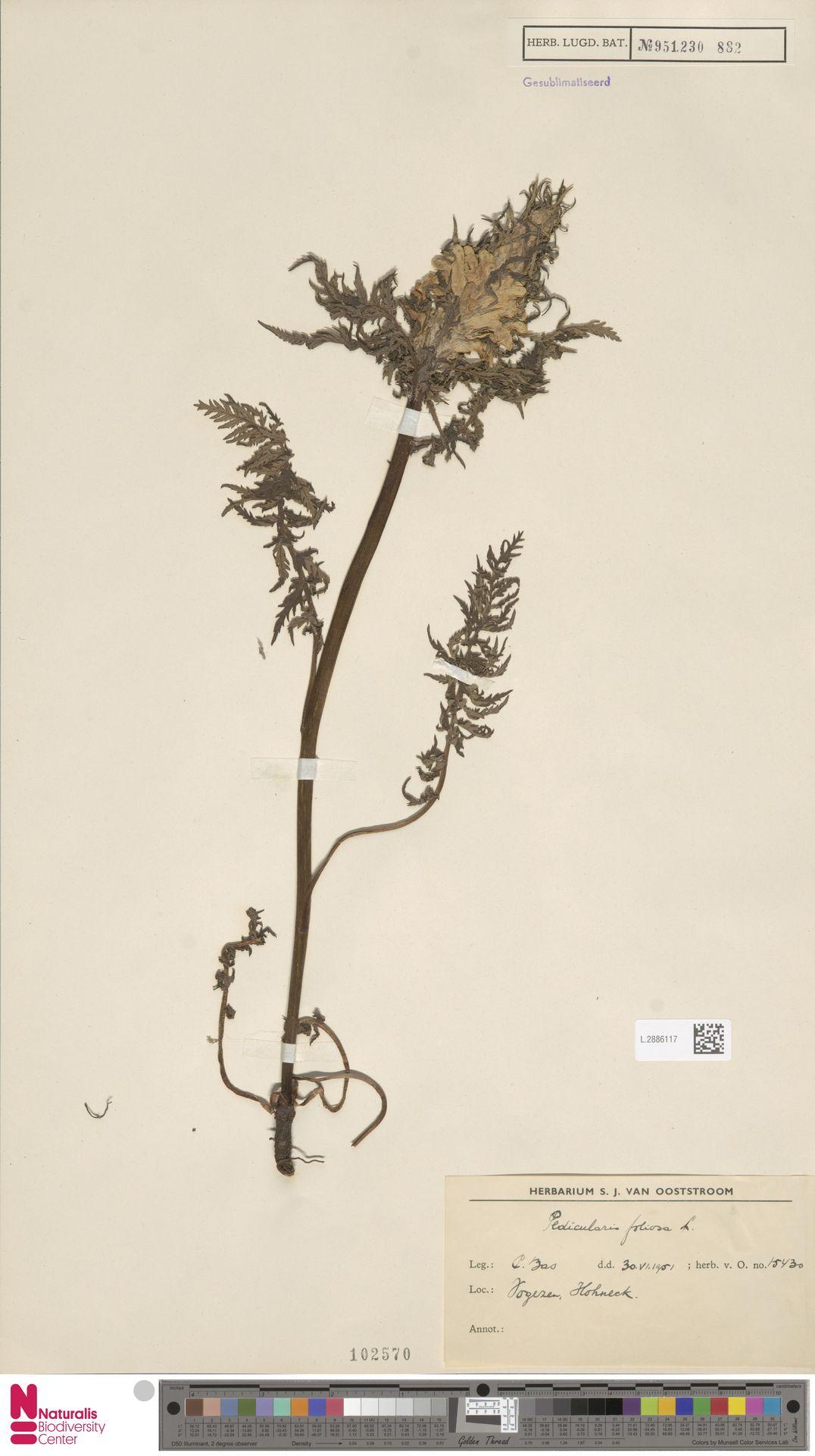 L.2886117 | Pedicularis foliosa L.