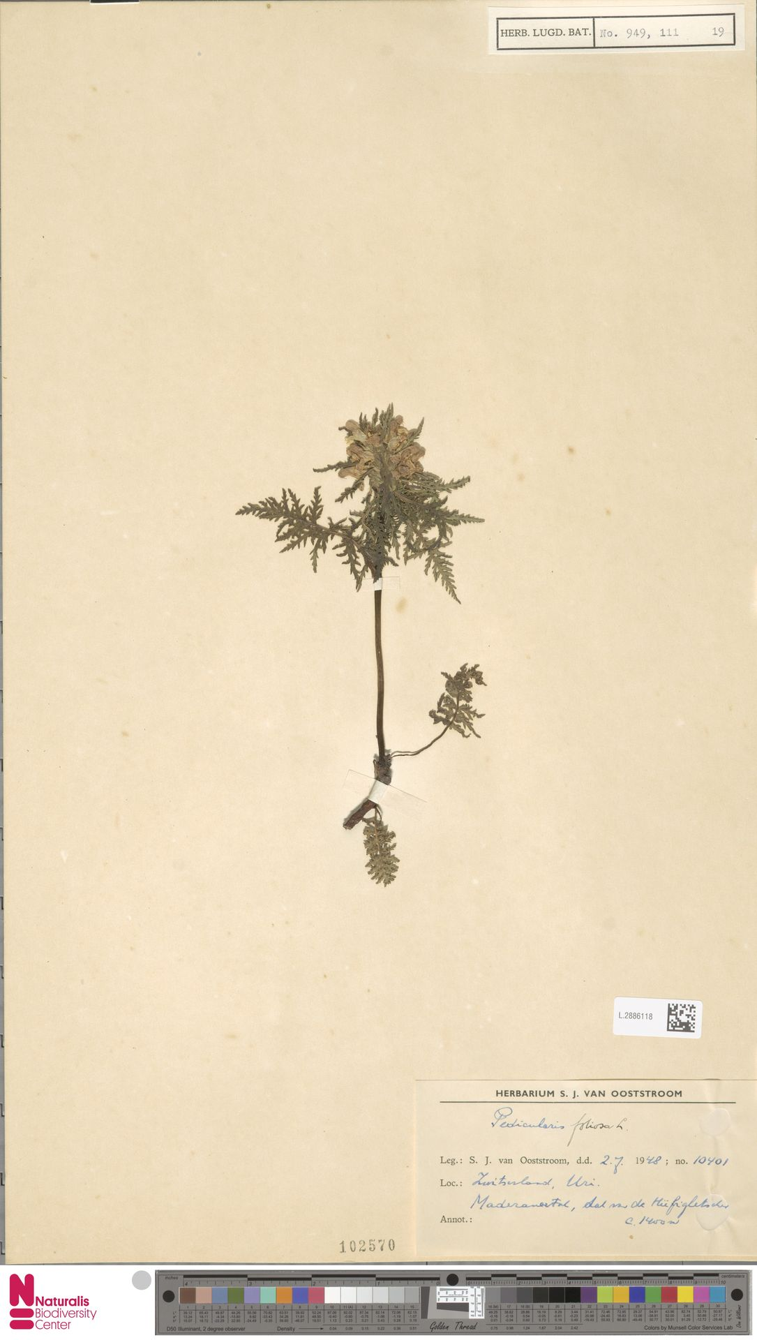 L.2886118 | Pedicularis foliosa L.