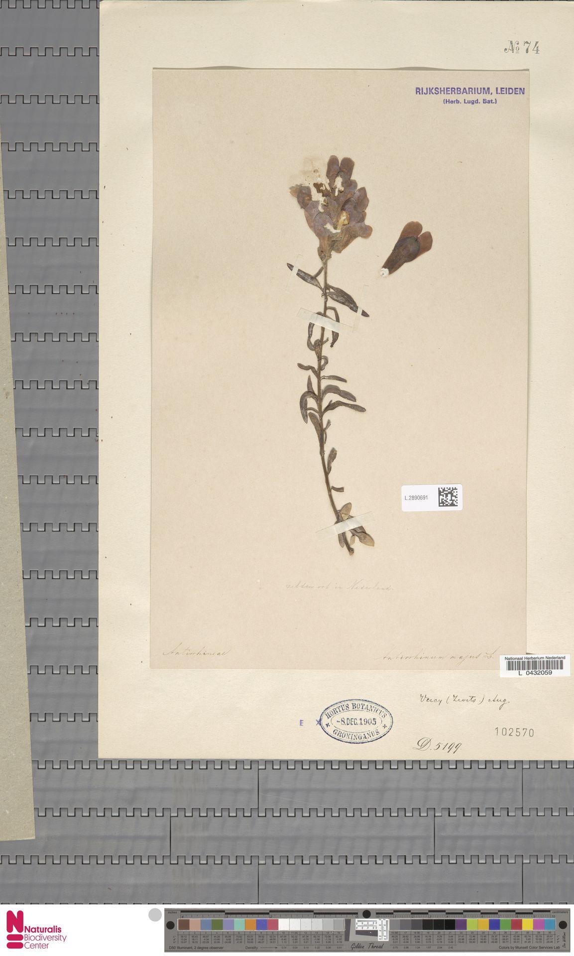 L.2890691 | Antirrhinum majus L.