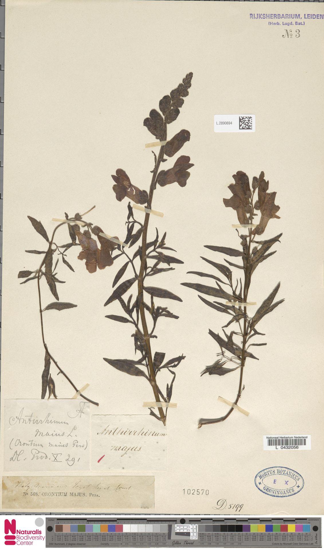 L.2890694 | Antirrhinum majus L.