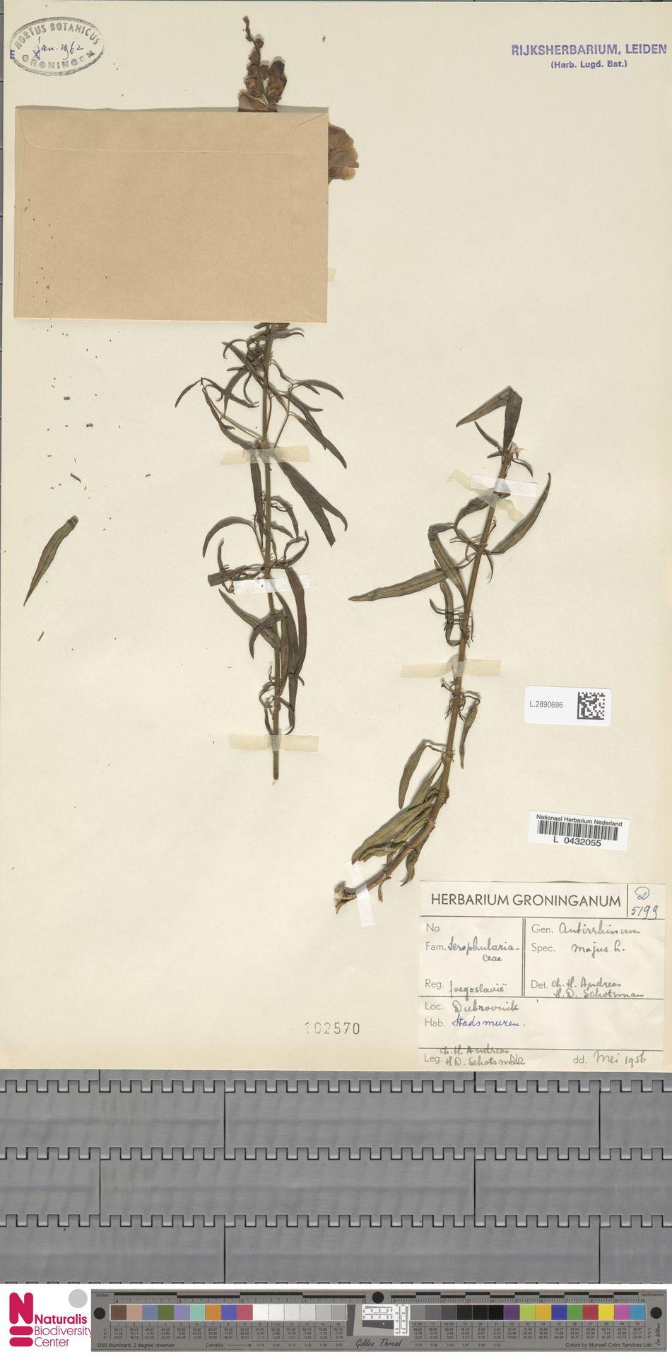 L.2890696 | Antirrhinum majus L.