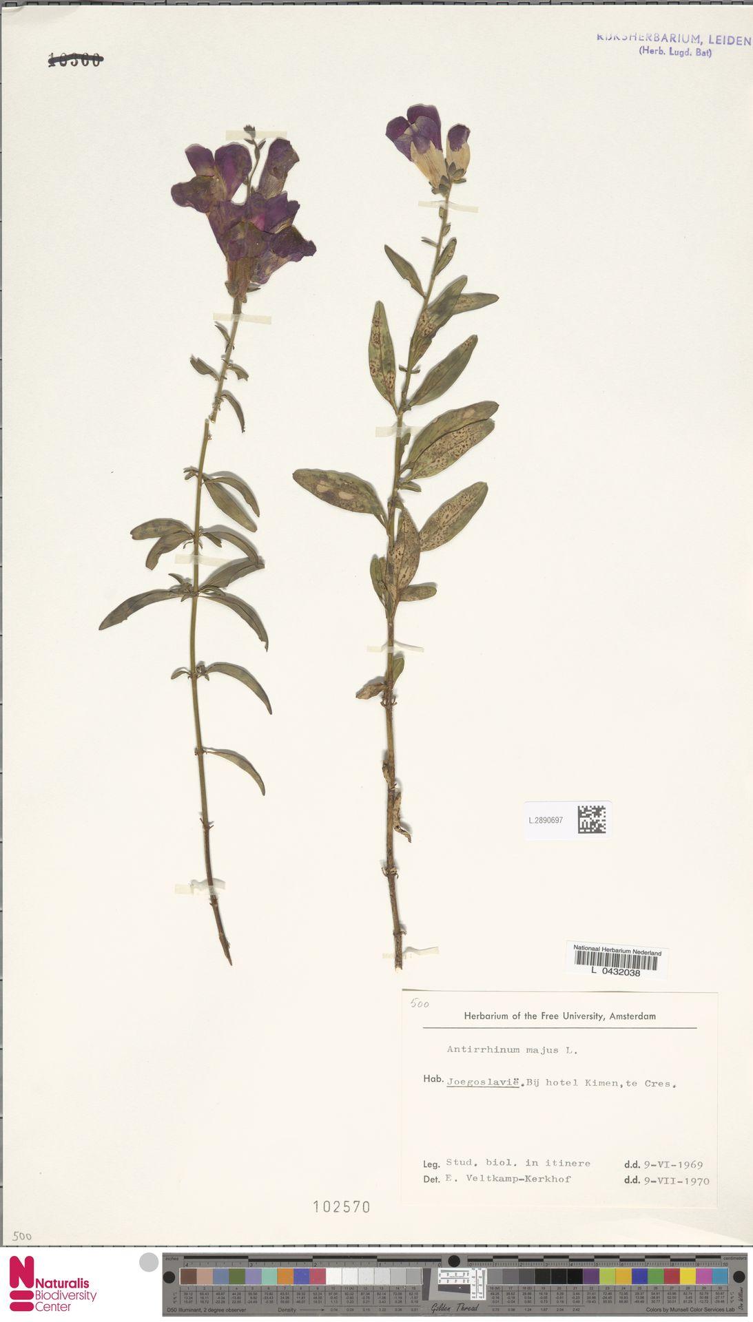 L.2890697 | Antirrhinum majus L.