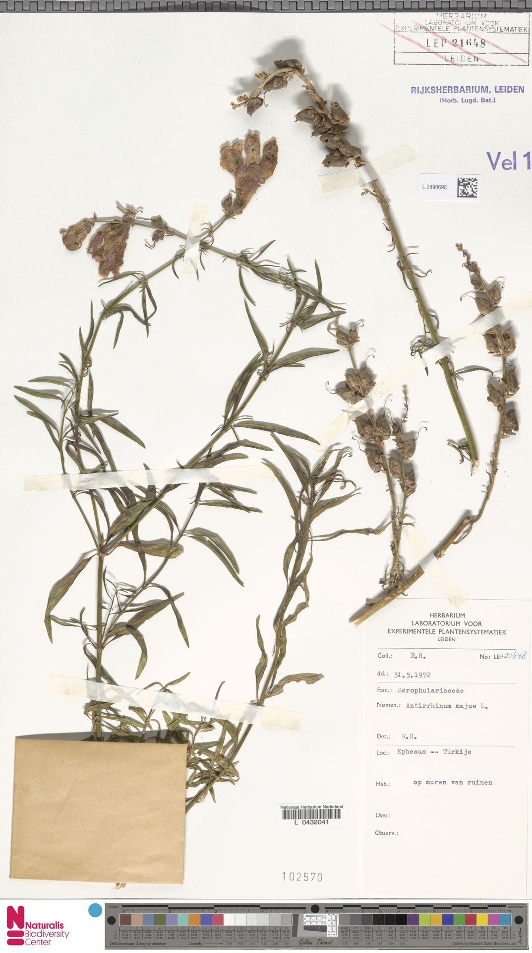L.2890698 | Antirrhinum majus L.