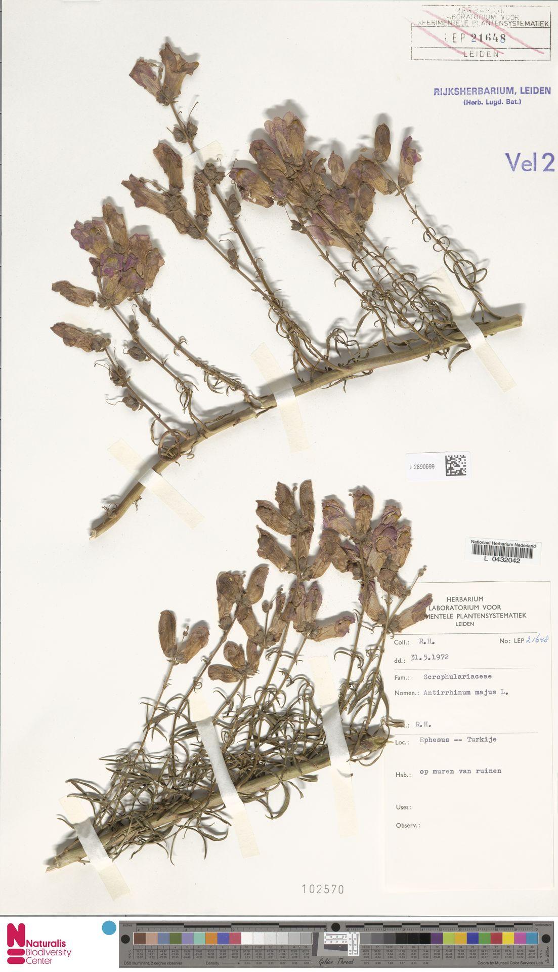 L.2890699 | Antirrhinum majus L.