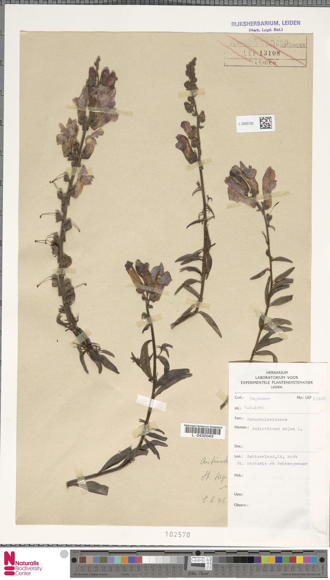 L.2890700 | Antirrhinum majus L.