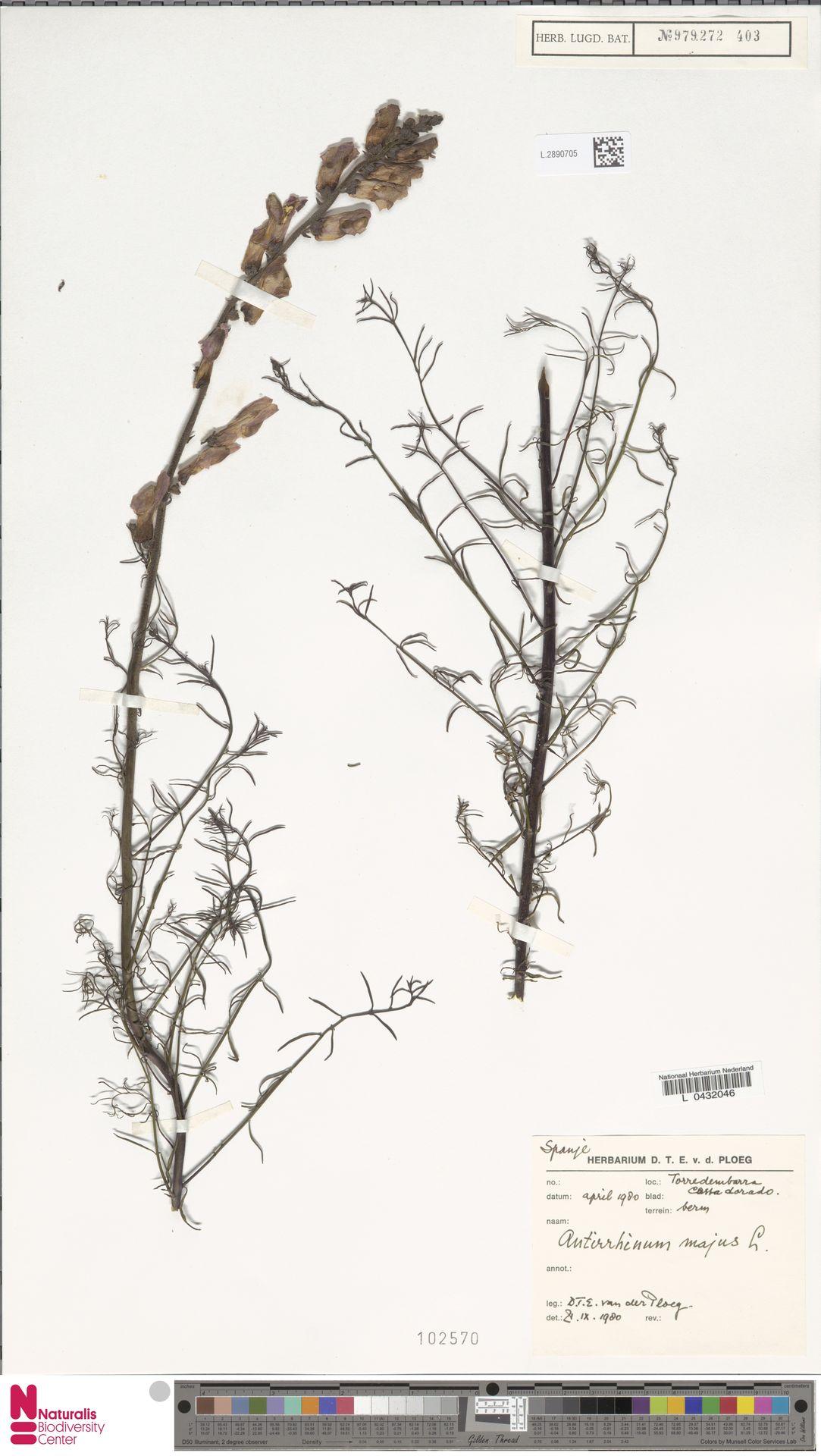 L.2890705 | Antirrhinum majus L.