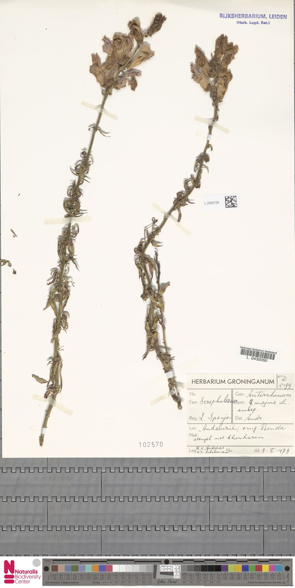 L.2890709 | Antirrhinum majus L.