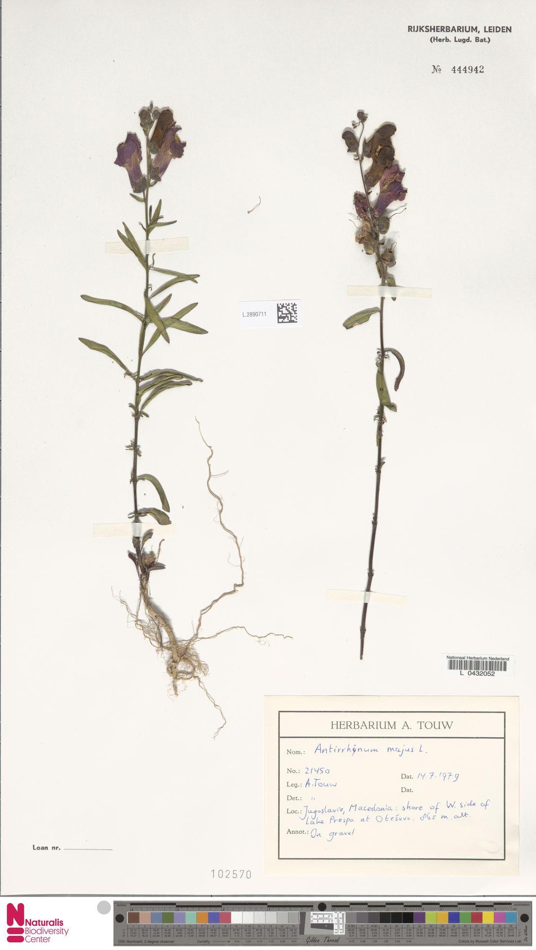 L.2890711 | Antirrhinum majus L.
