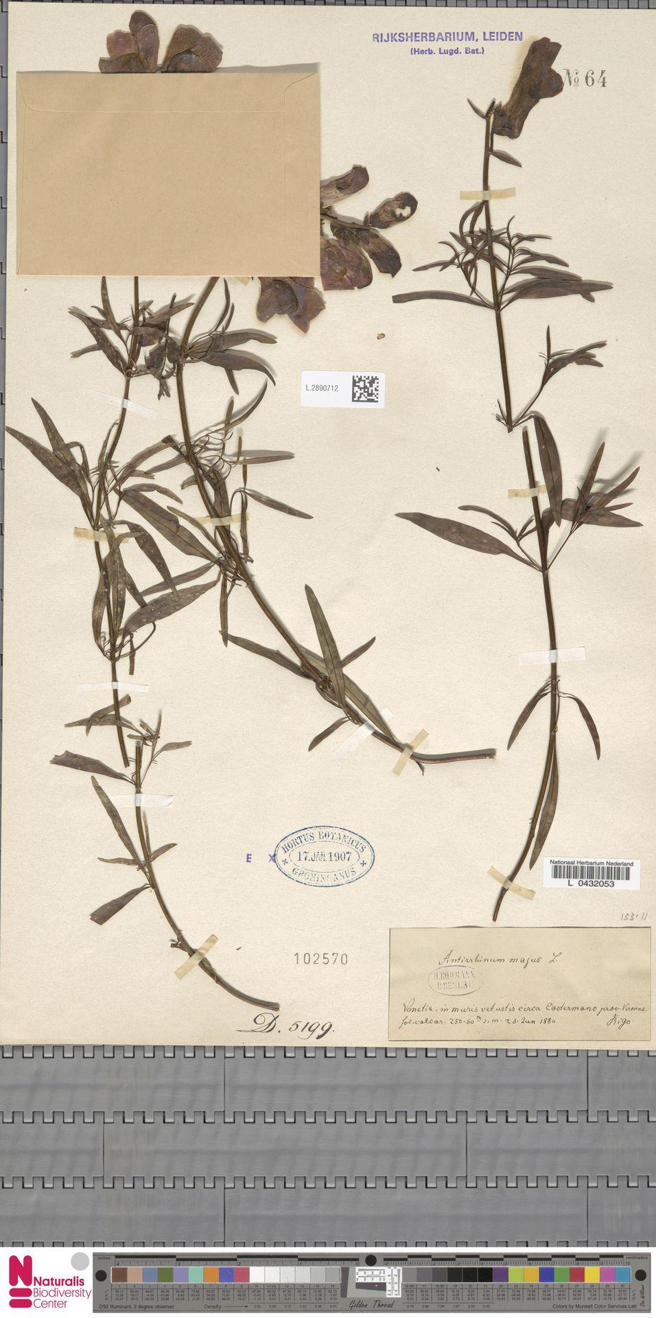 L.2890712 | Antirrhinum majus L.