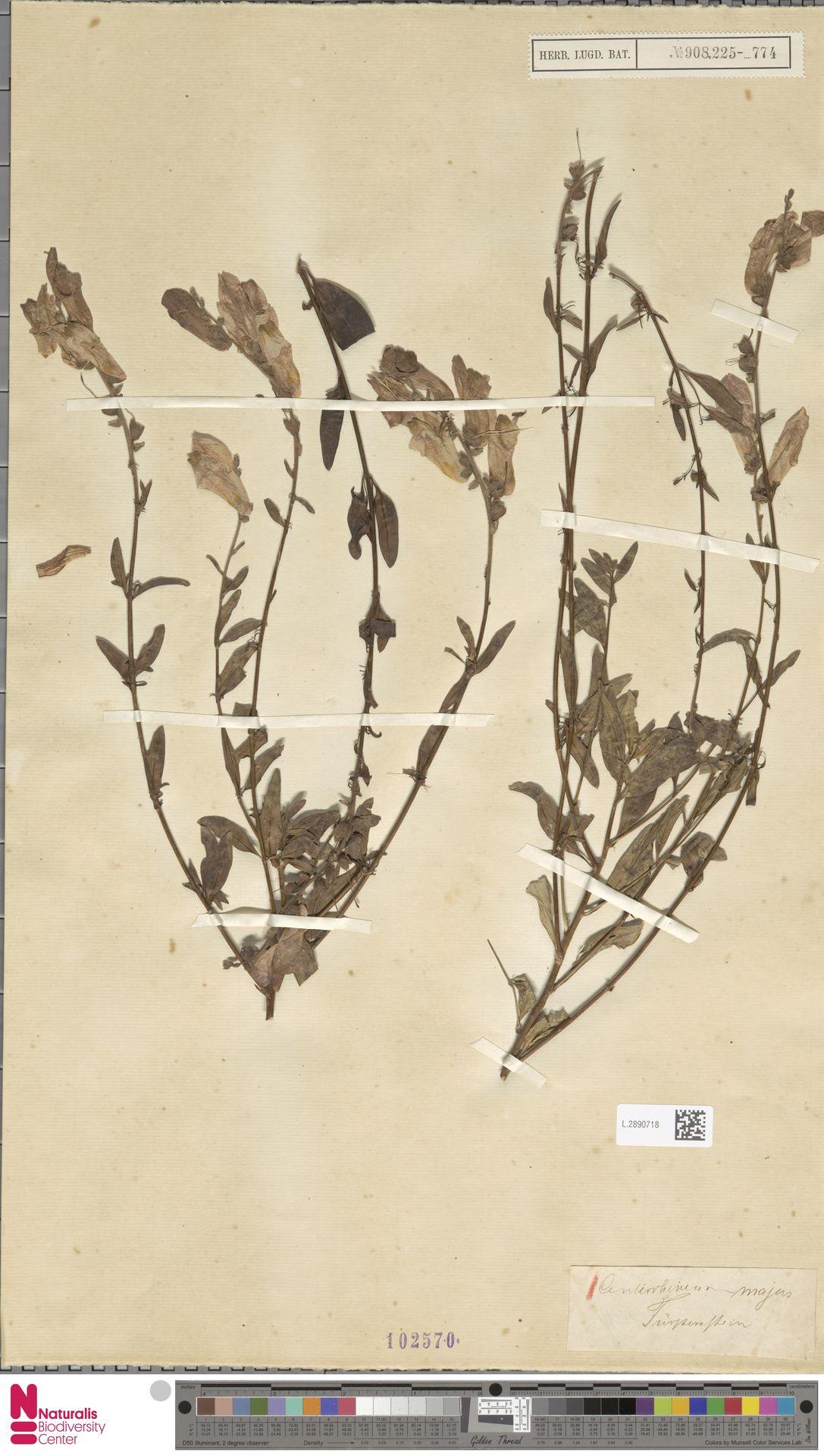 L.2890718 | Antirrhinum majus L.