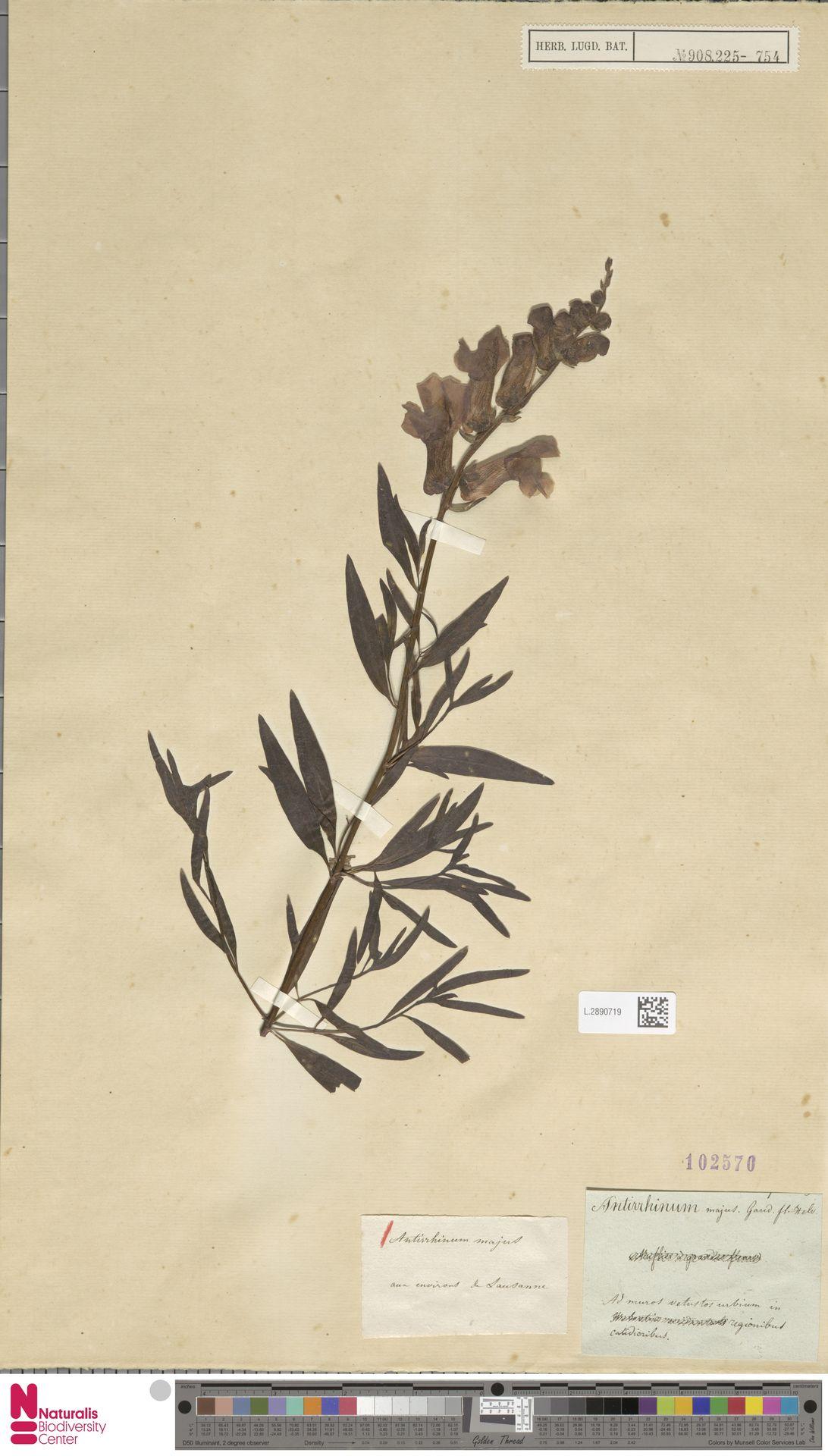 L.2890719 | Antirrhinum majus L.