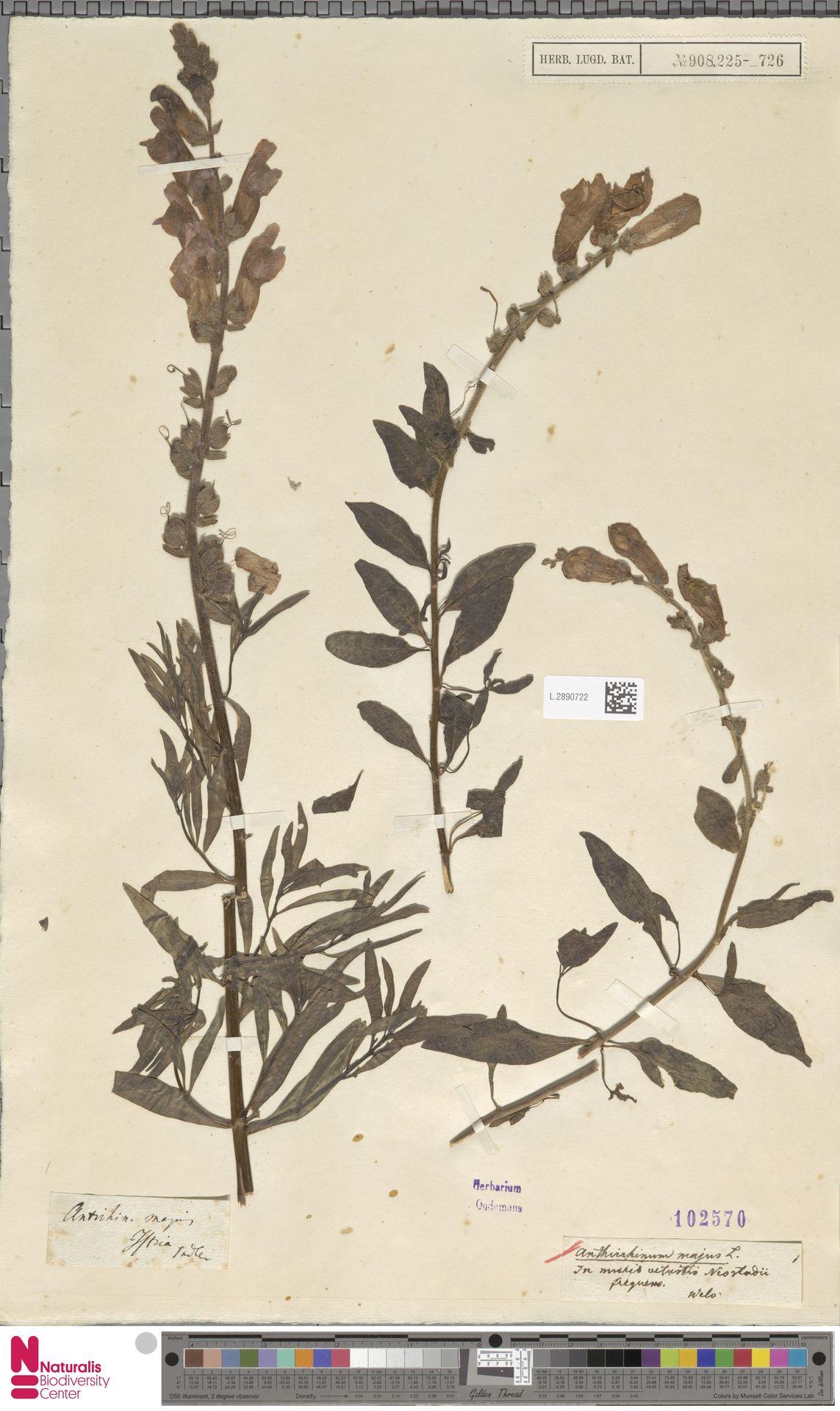 L.2890722 | Antirrhinum majus L.