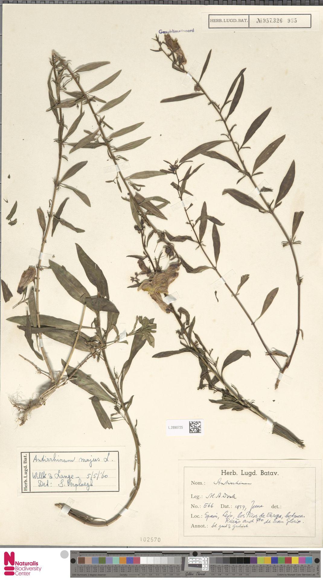 L.2890725 | Antirrhinum majus L.