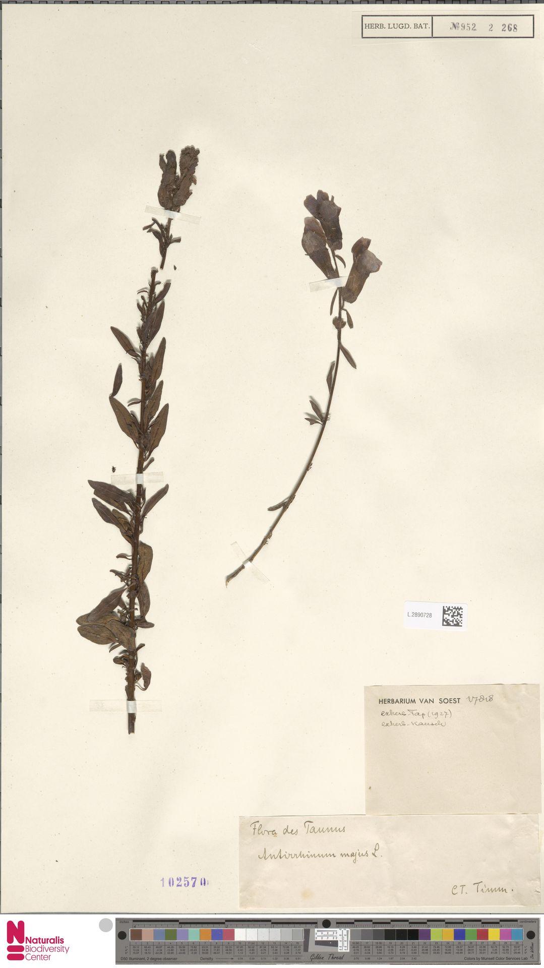 L.2890728 | Antirrhinum majus L.