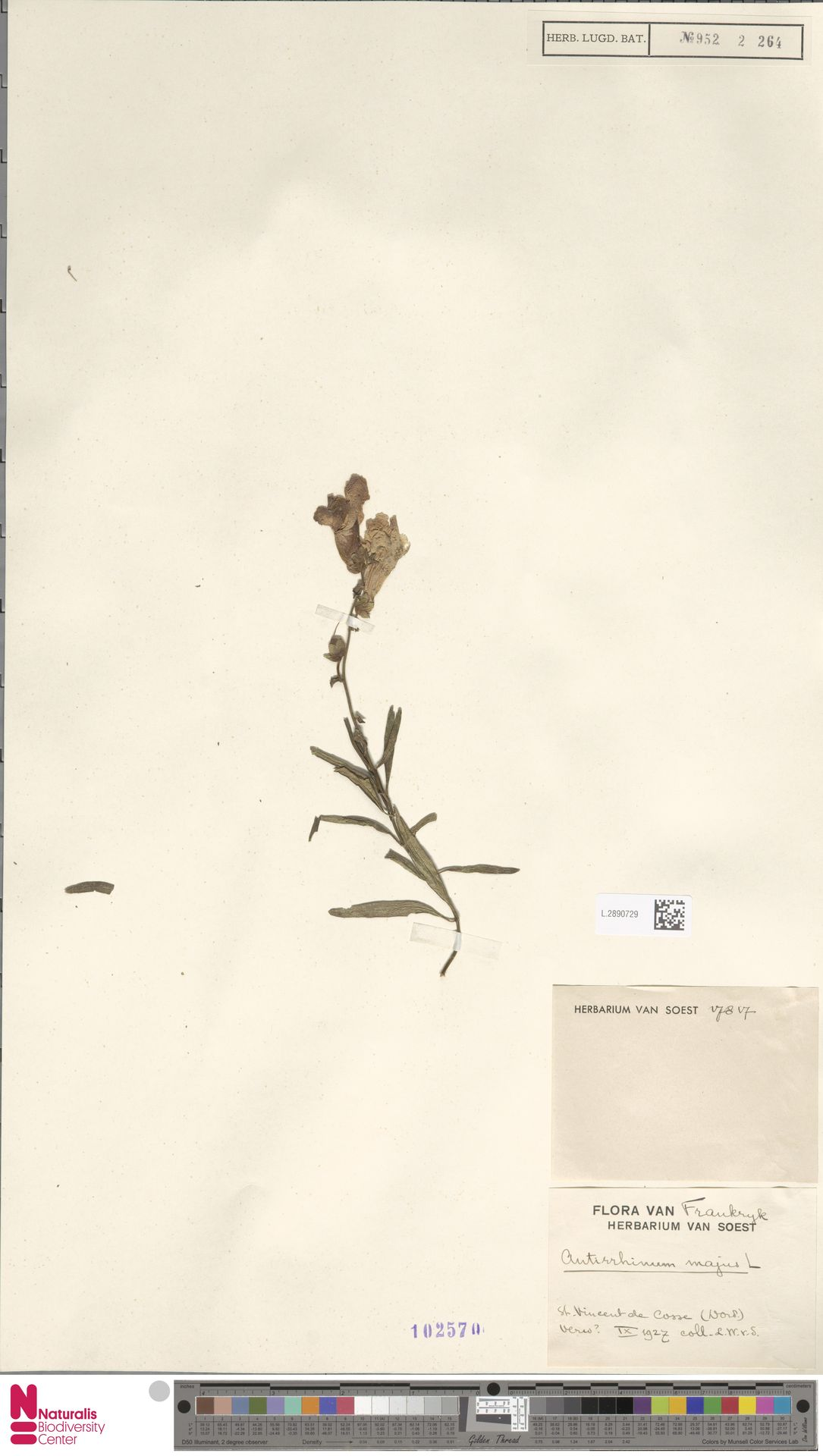 L.2890729   Antirrhinum majus L.