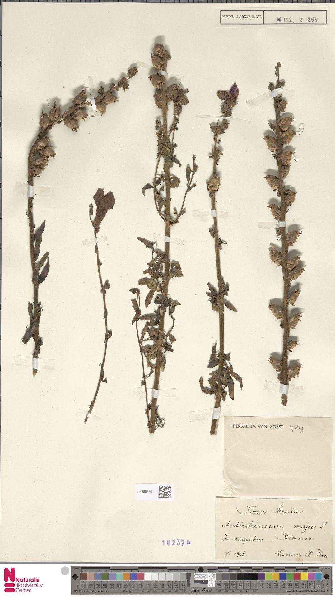 L.2890730 | Antirrhinum majus L.