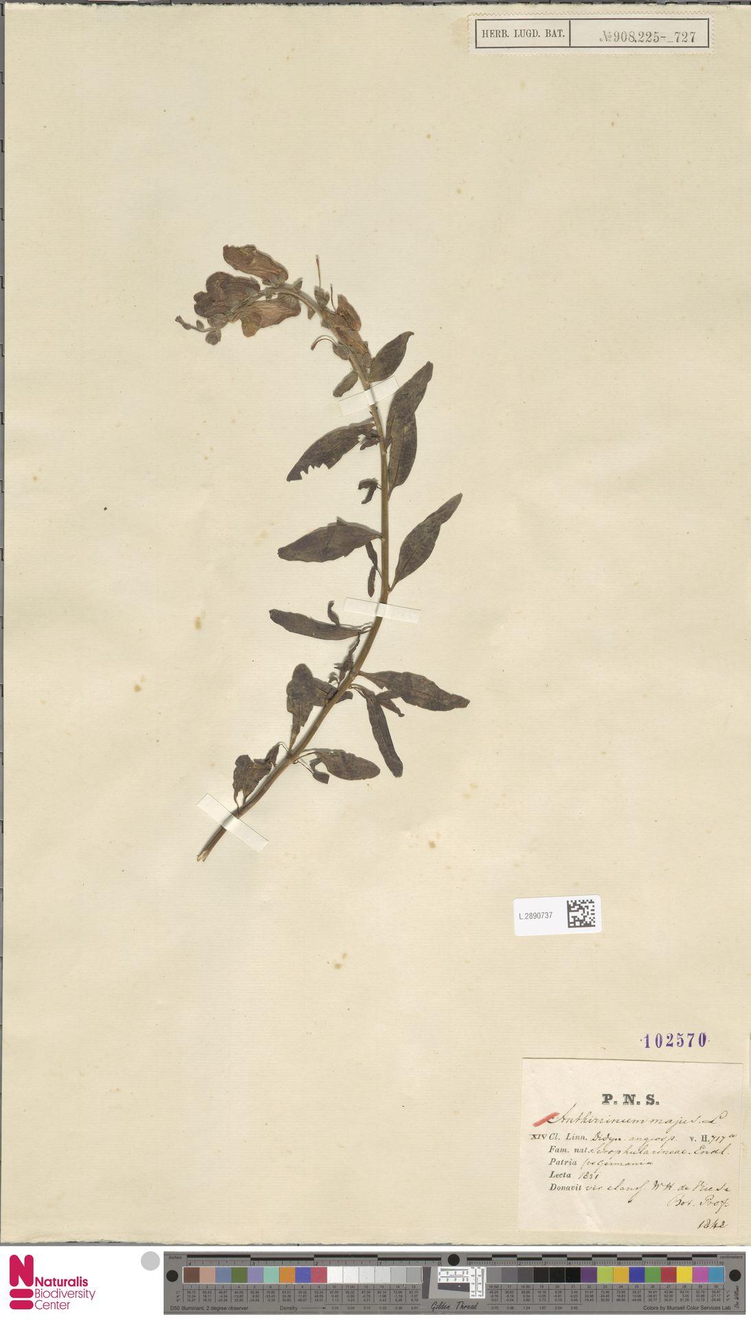 L.2890737 | Antirrhinum majus L.