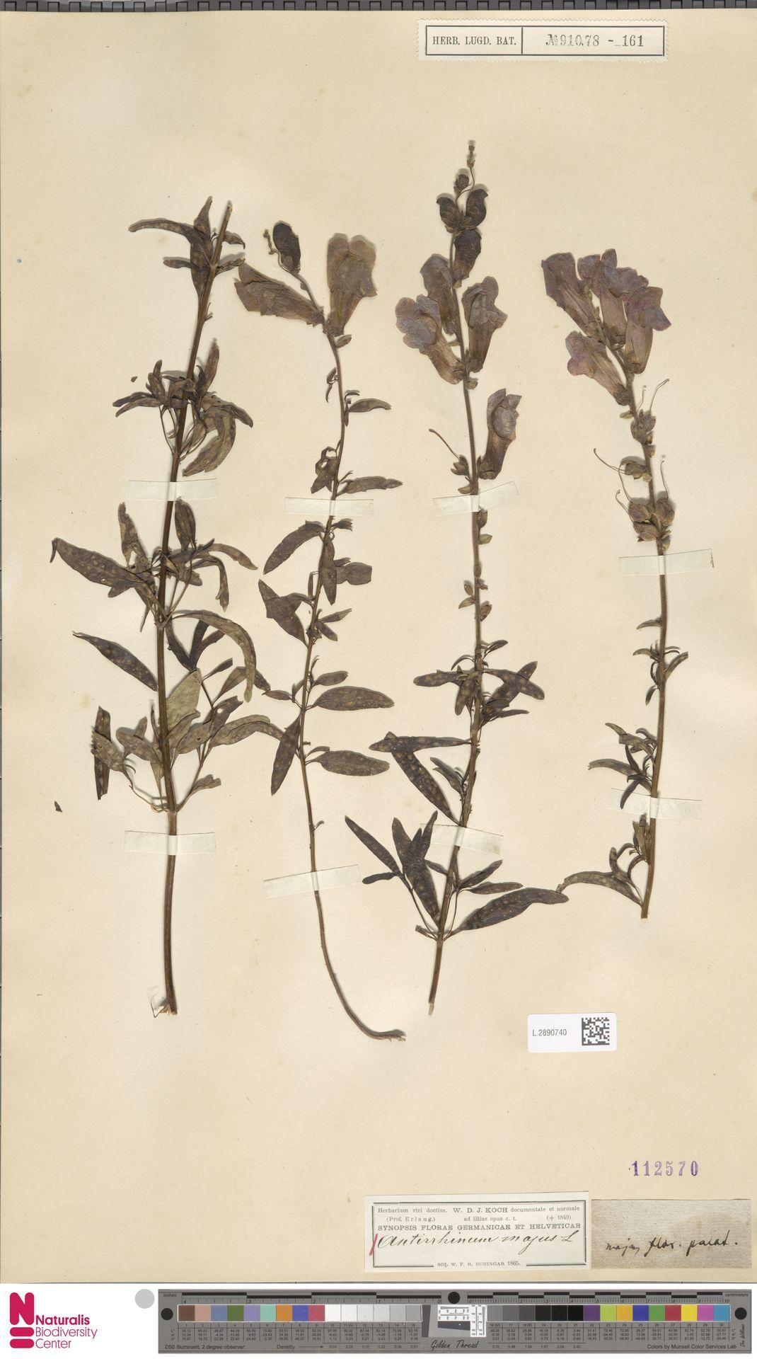 L.2890740 | Antirrhinum majus L.