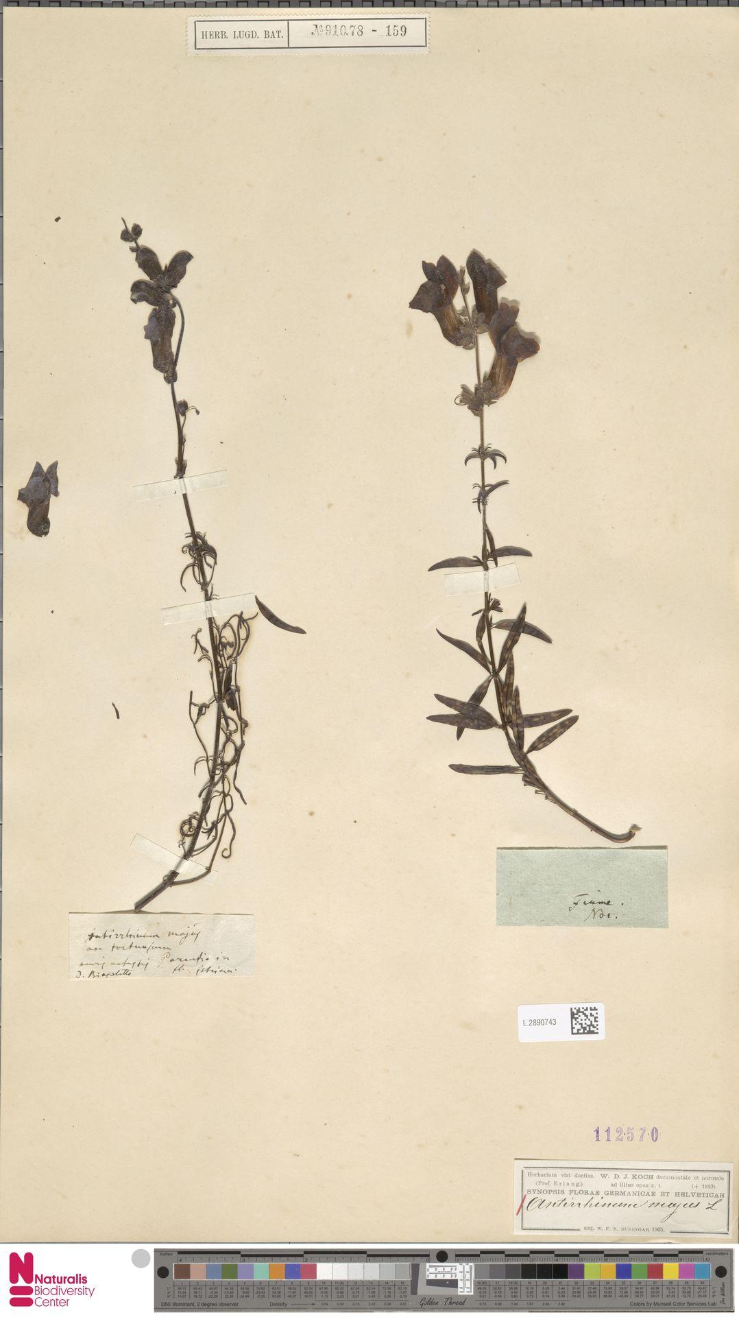 L.2890743 | Antirrhinum majus L.