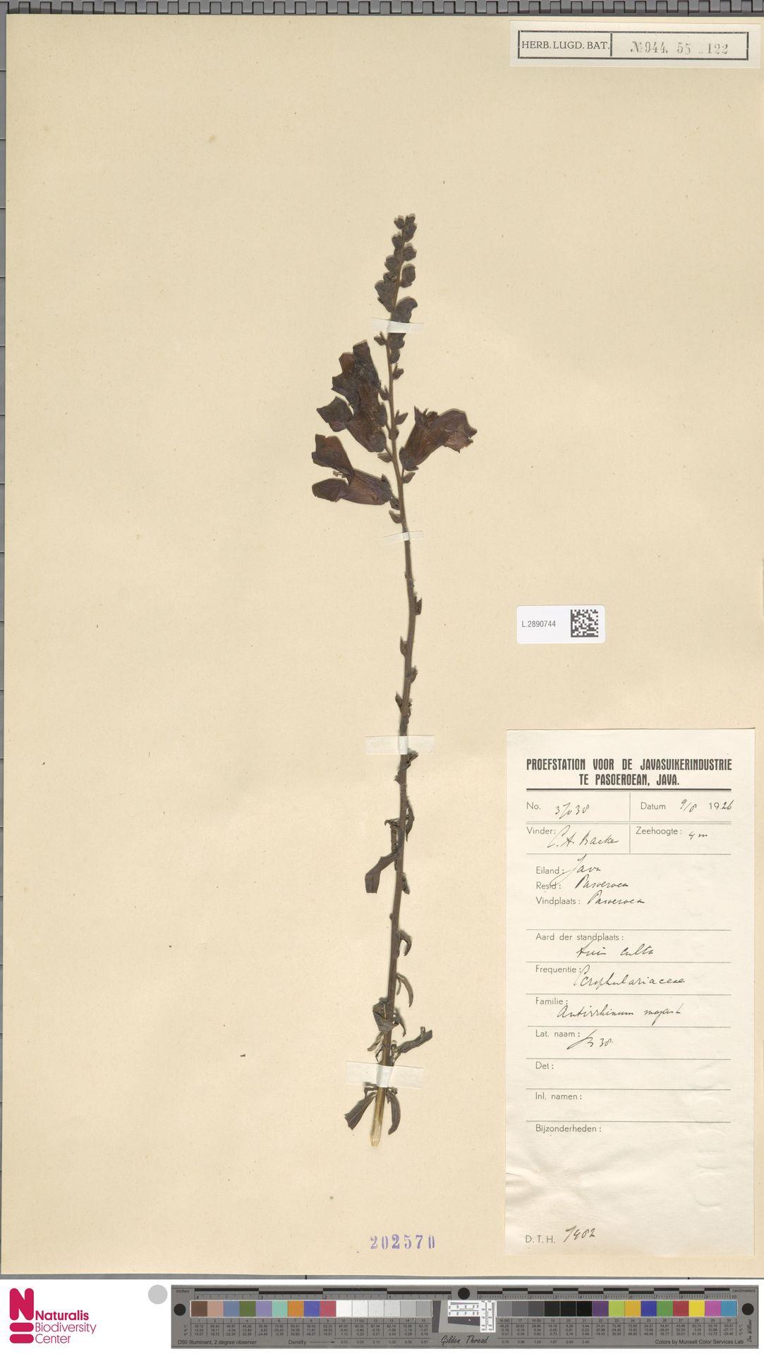 L.2890744 | Antirrhinum majus L.