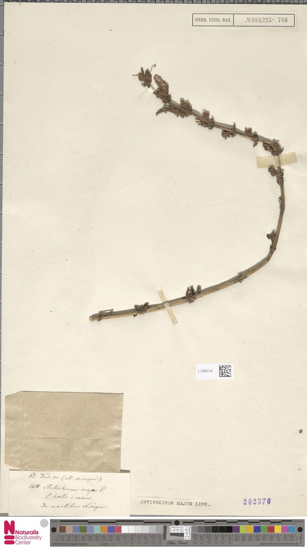 L.2890745 | Antirrhinum majus L.