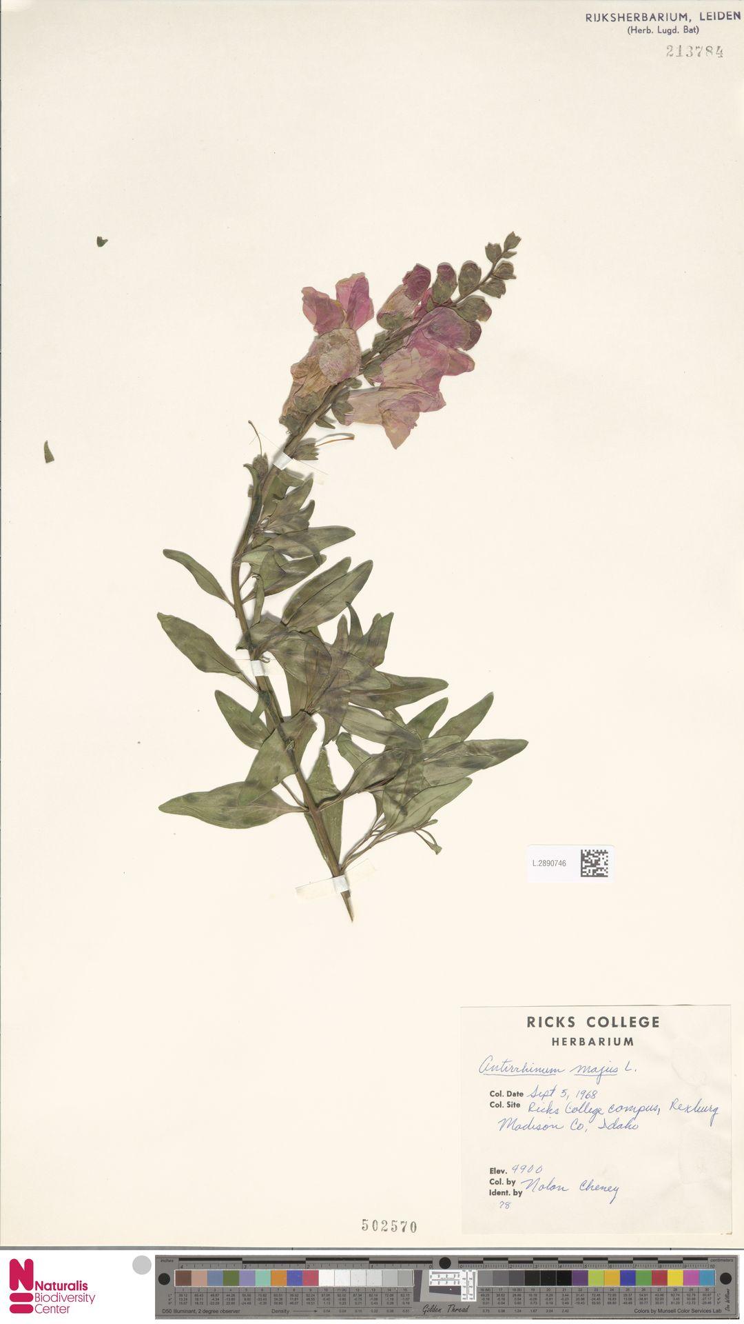 L.2890746 | Antirrhinum majus L.