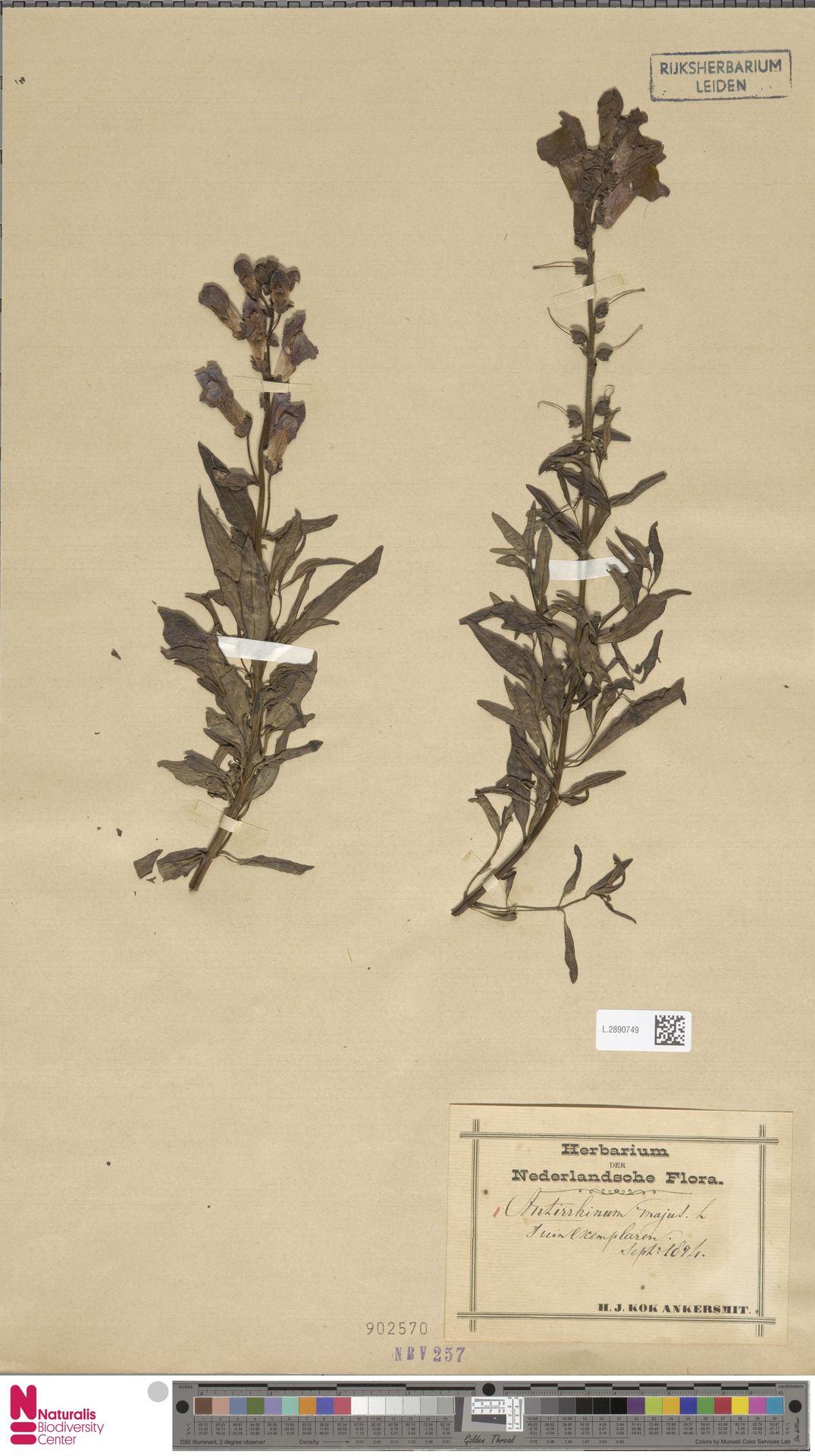 L.2890749 | Antirrhinum majus L.
