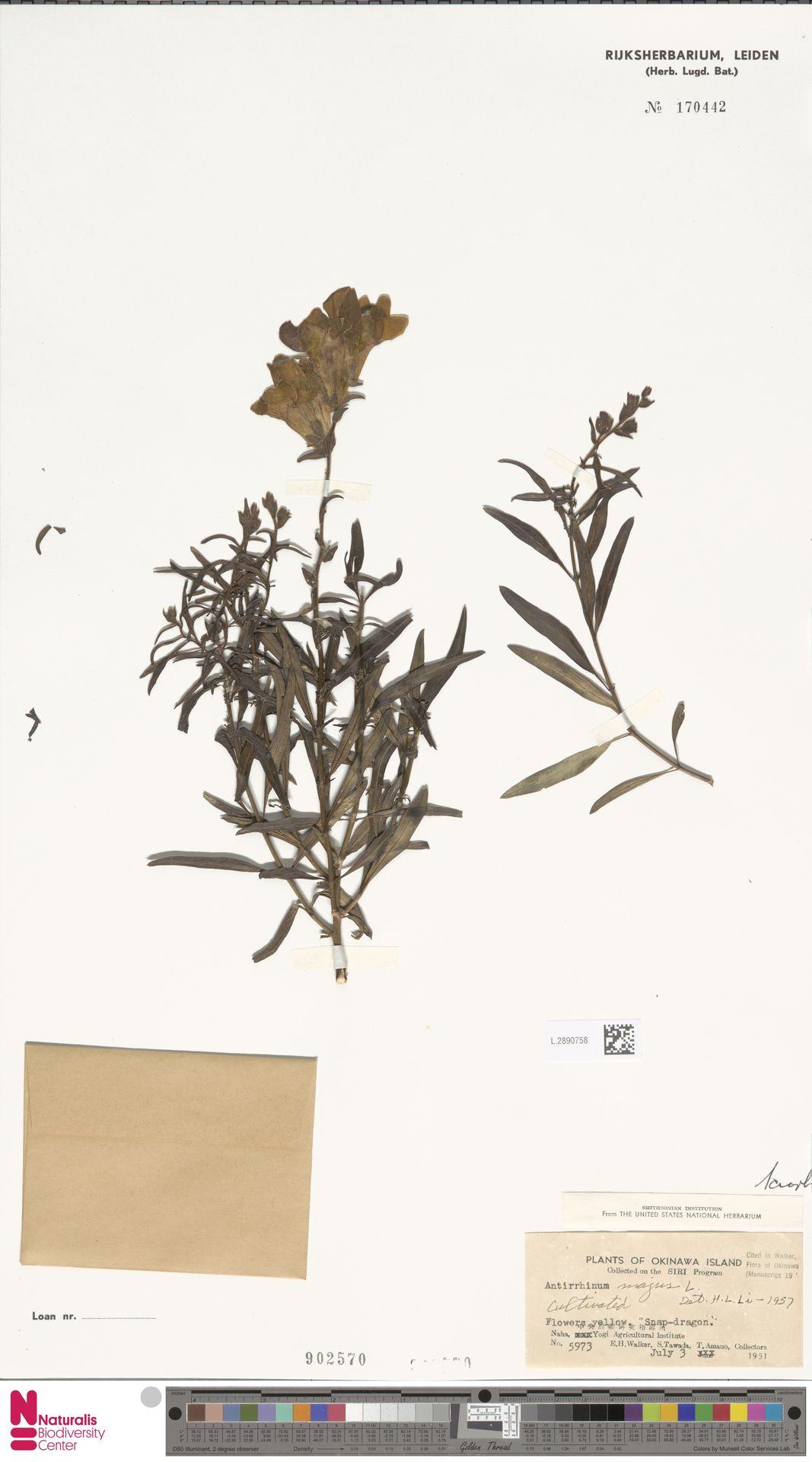 L.2890758 | Antirrhinum majus L.
