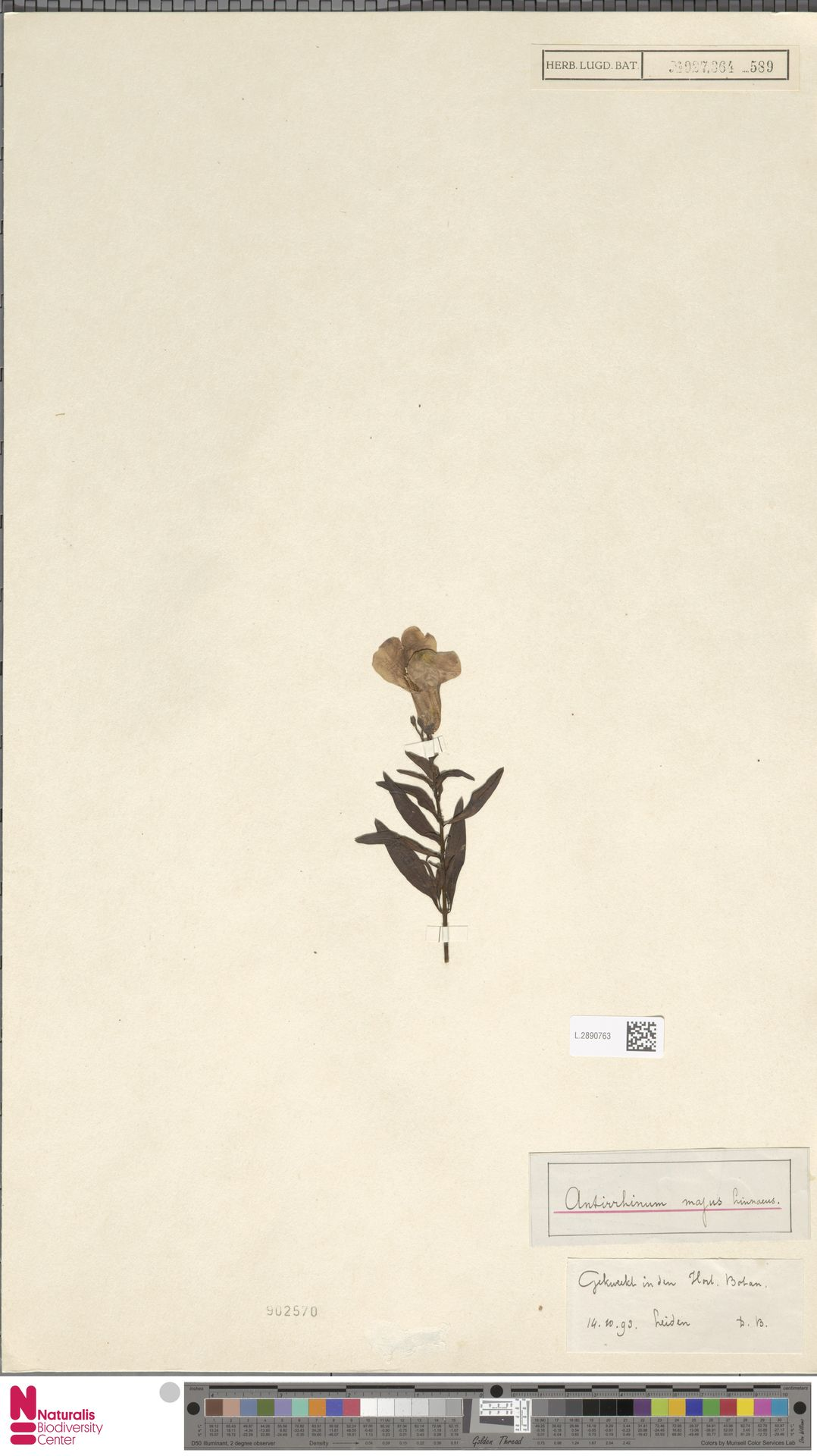 L.2890763 | Antirrhinum majus L.