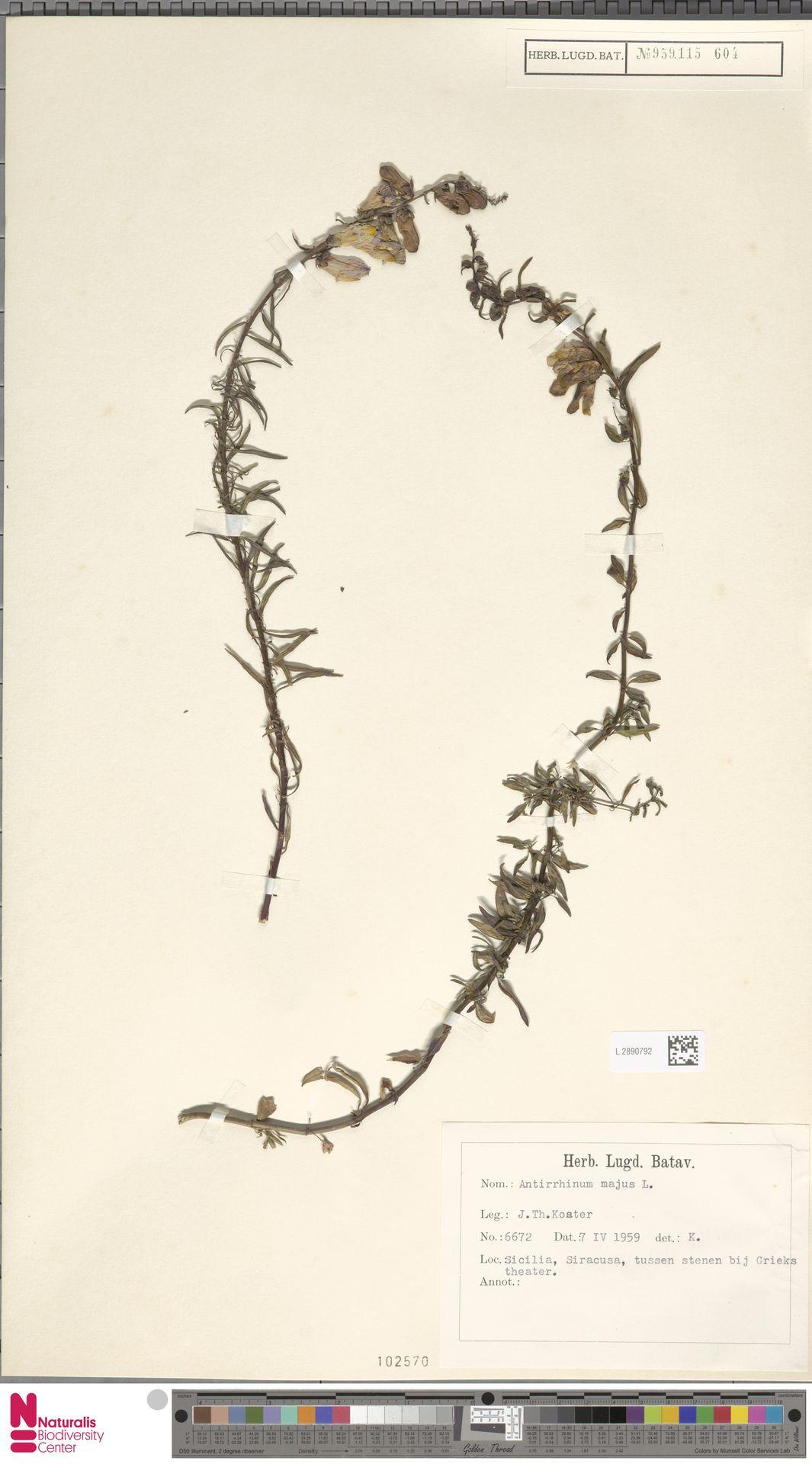 L.2890792 | Antirrhinum majus L.