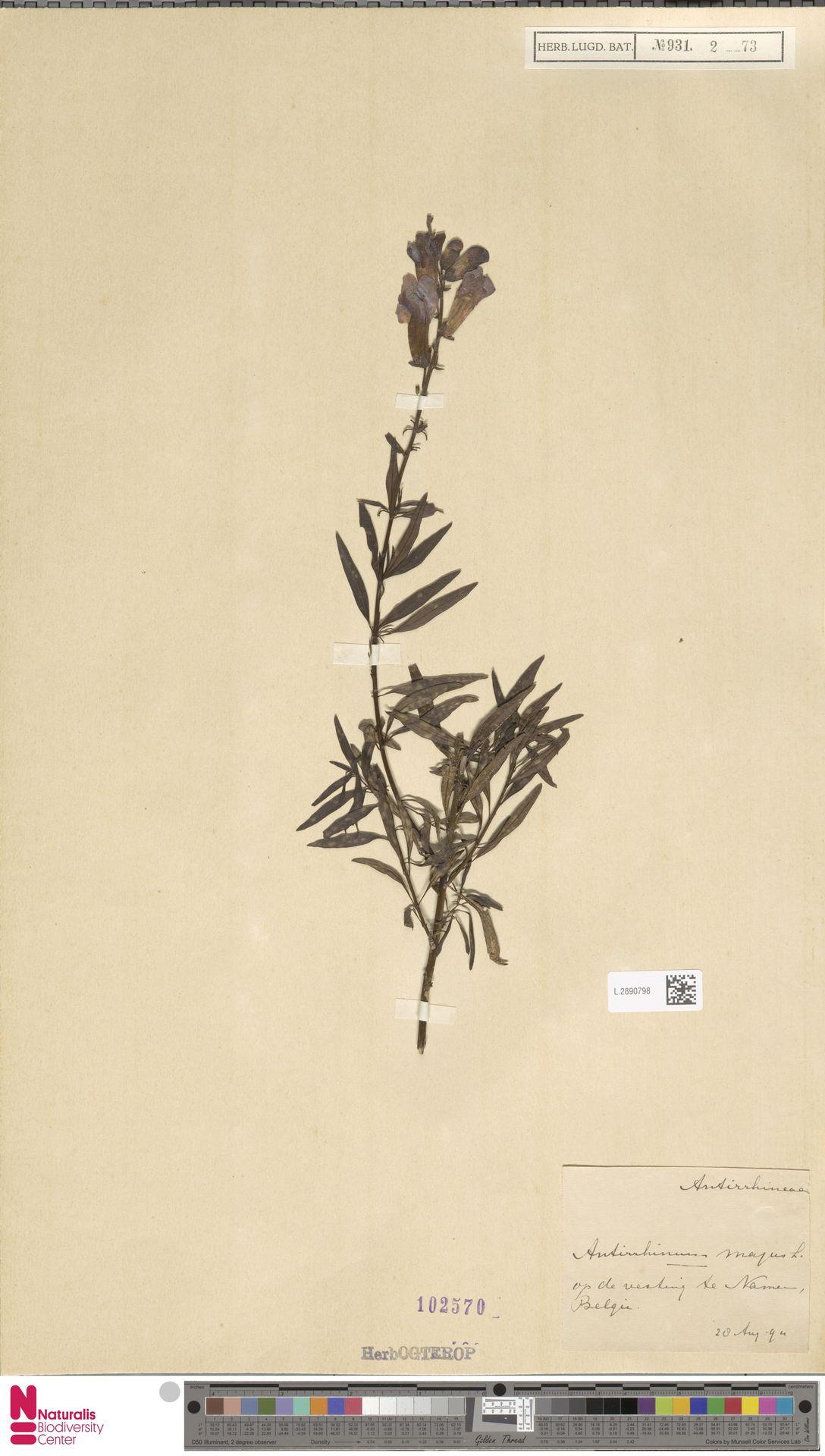 L.2890798 | Antirrhinum majus L.