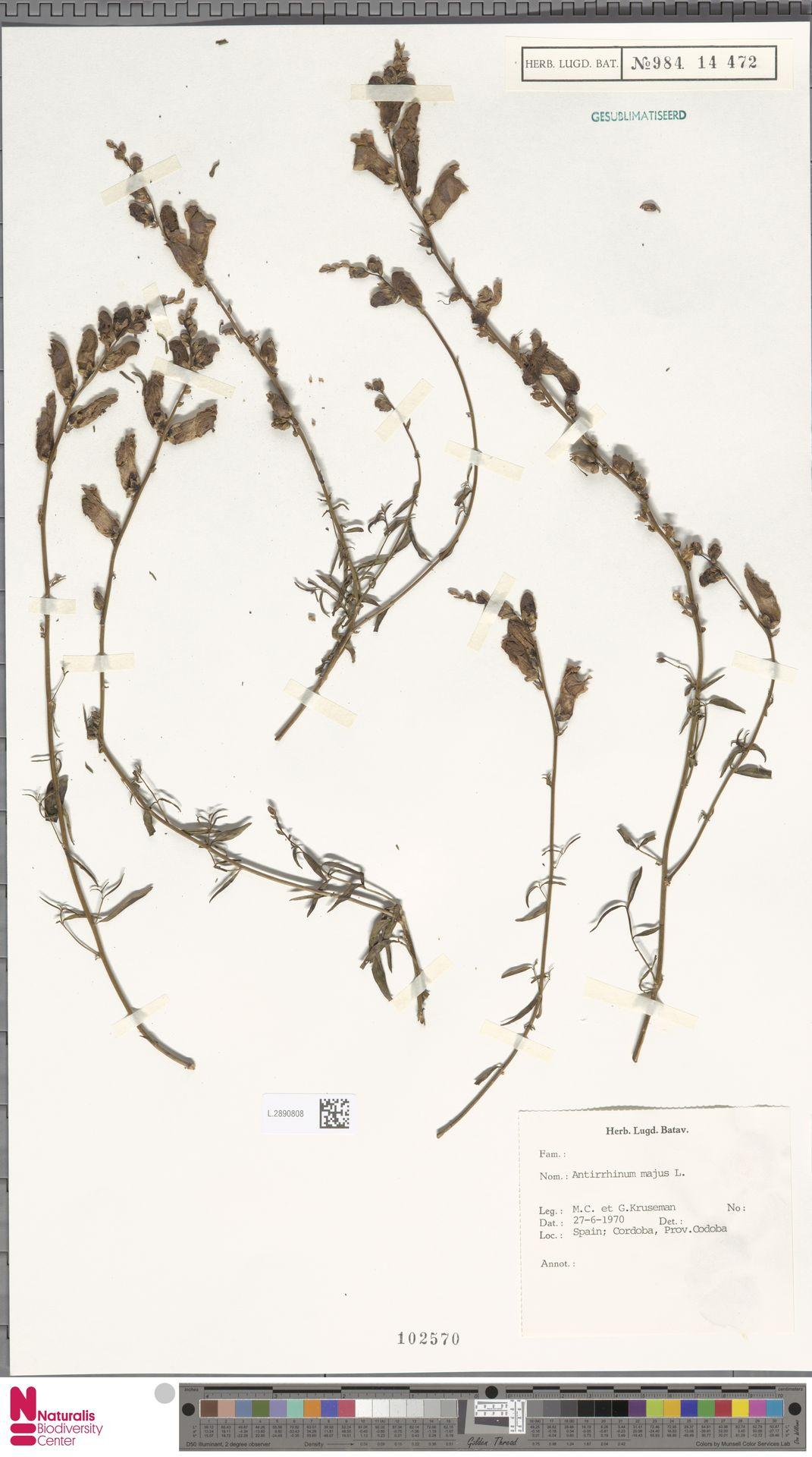 L.2890808 | Antirrhinum majus L.