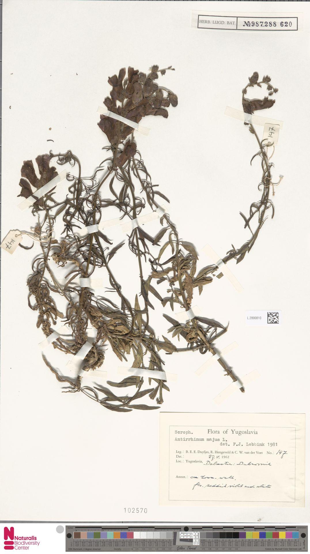 L.2890810 | Antirrhinum majus L.