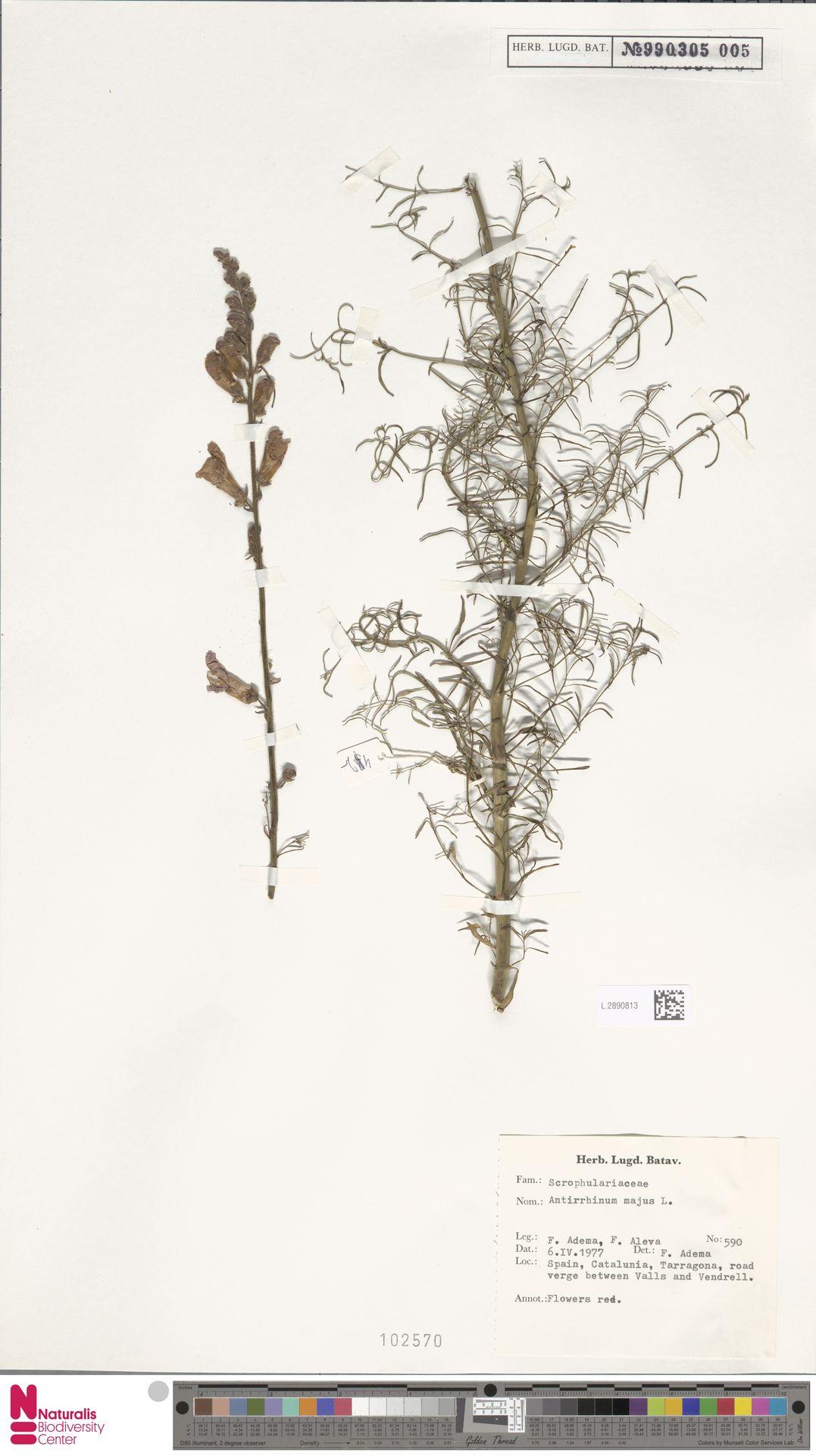 L.2890813 | Antirrhinum majus L.