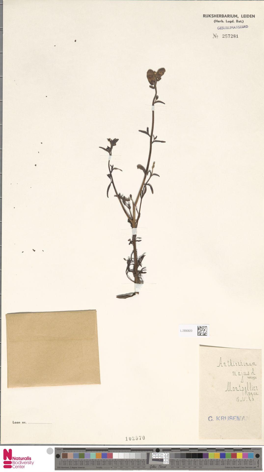 L.2890820 | Antirrhinum majus L.