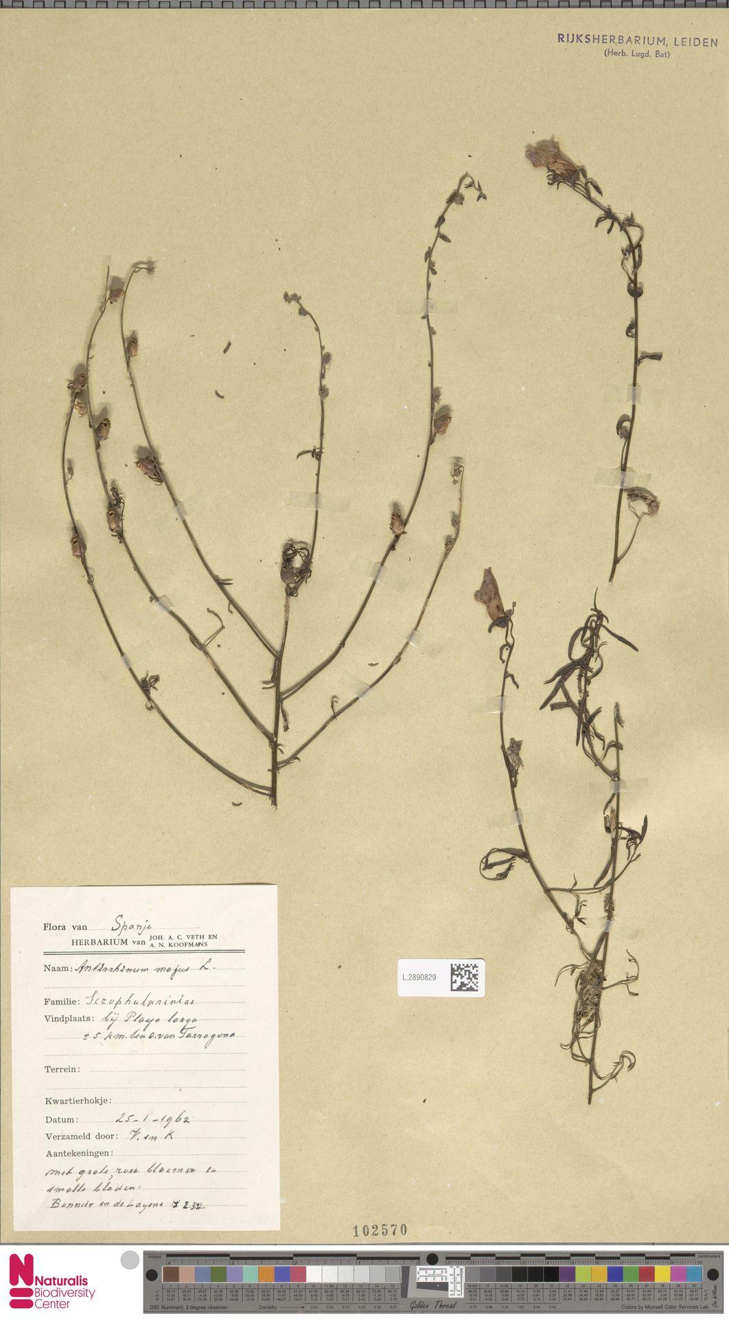 L.2890829   Antirrhinum majus L.