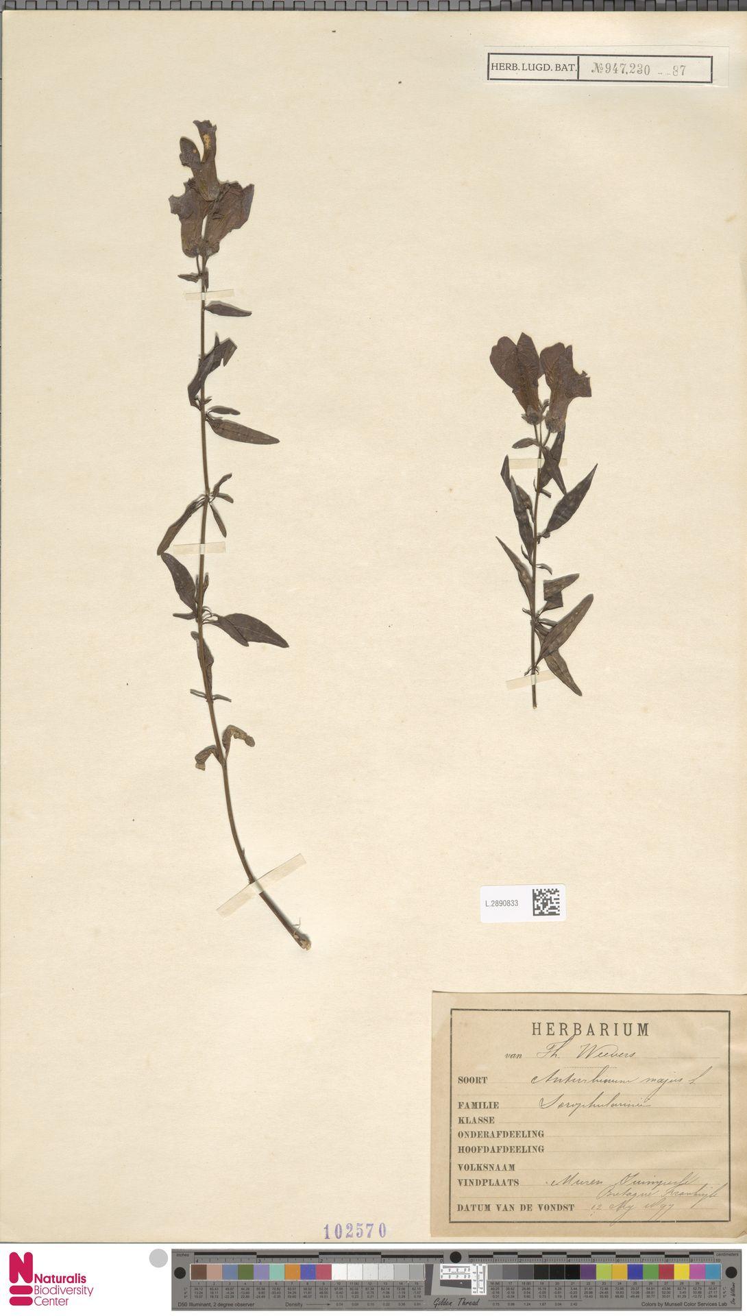 L.2890833 | Antirrhinum majus L.