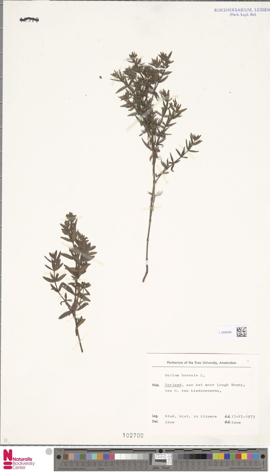 L.2898496   Galium boreale L.
