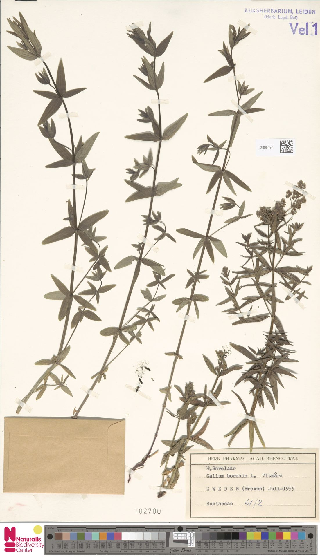 L.2898497 | Galium boreale L.